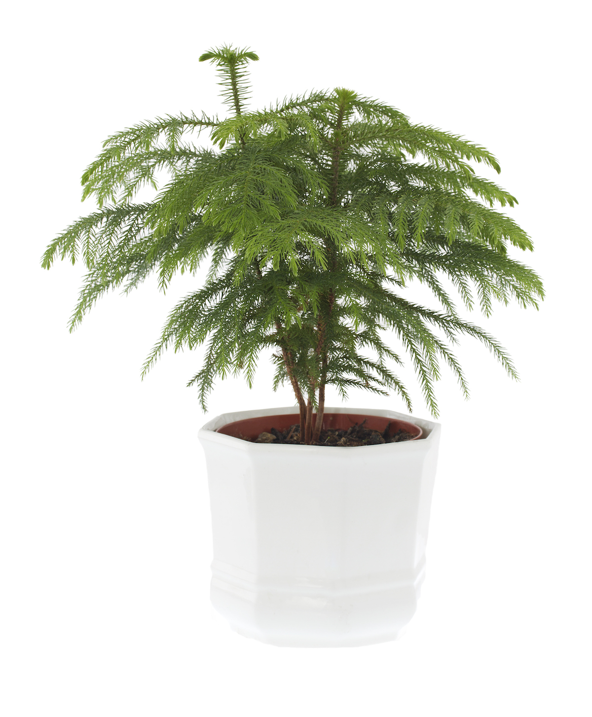 Difficult House Plant, Norfolk Island Pine