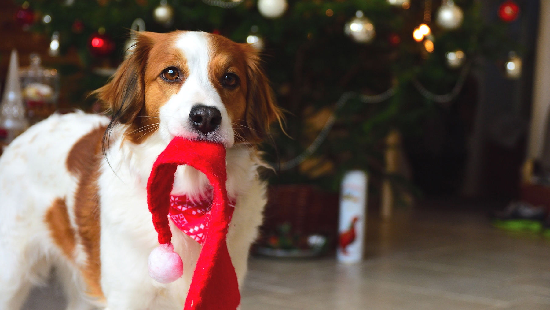 Dog in front of Christmas tree carrying Santa hat