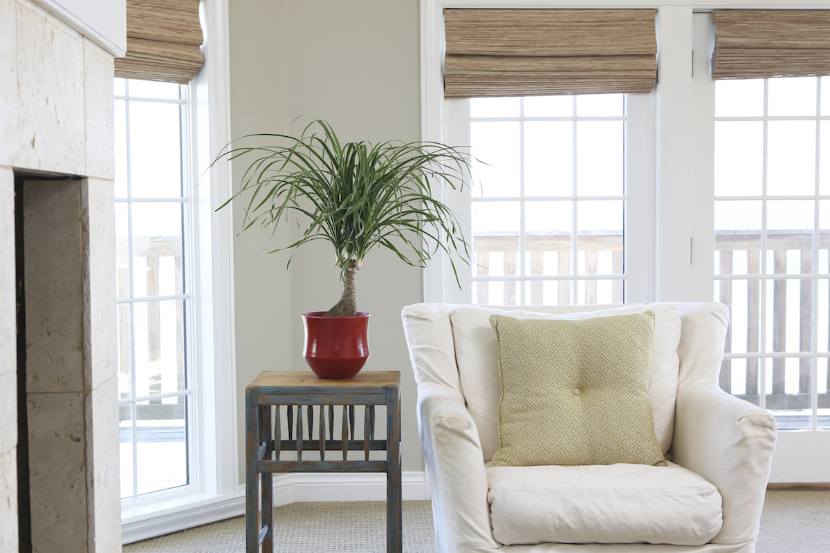 Easy Houseplants Ponytail Palm in living room