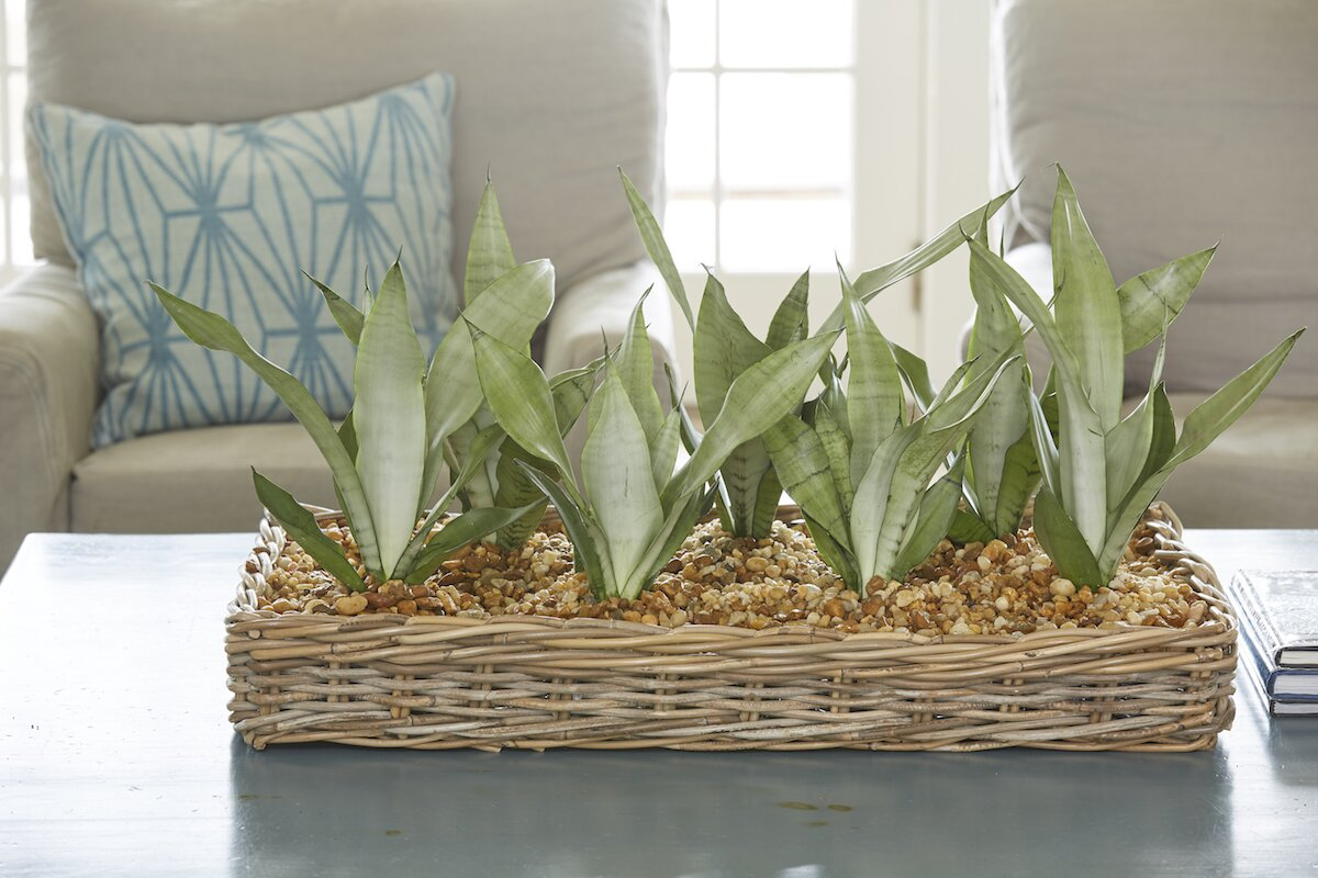 Easy Houseplants Snake Plant