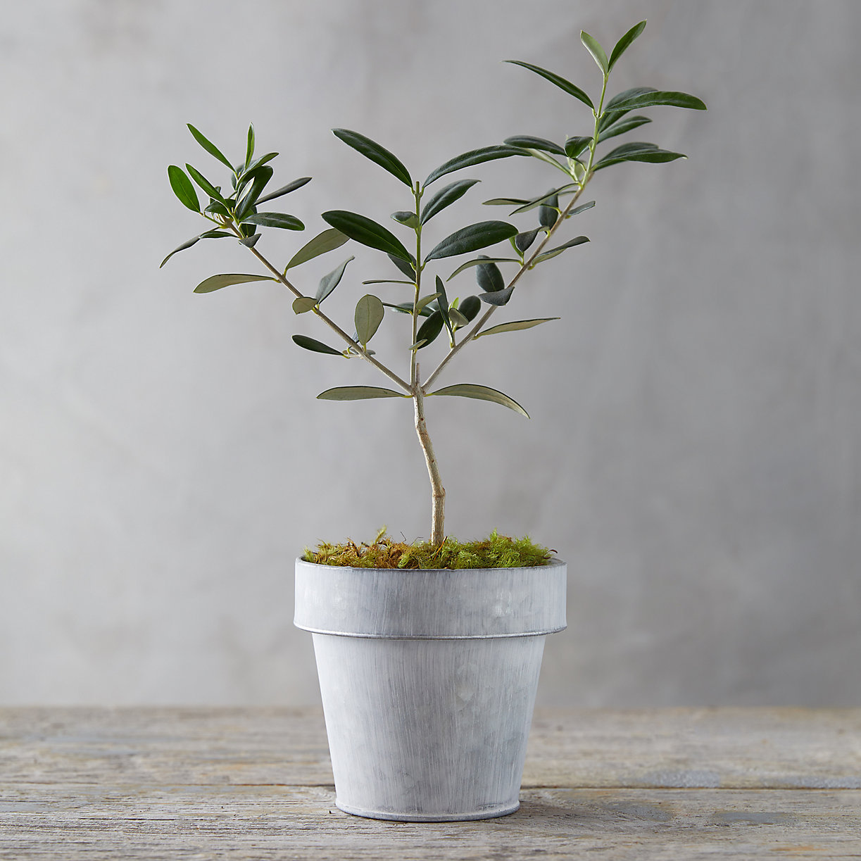 Real olive tree houseplant in pot