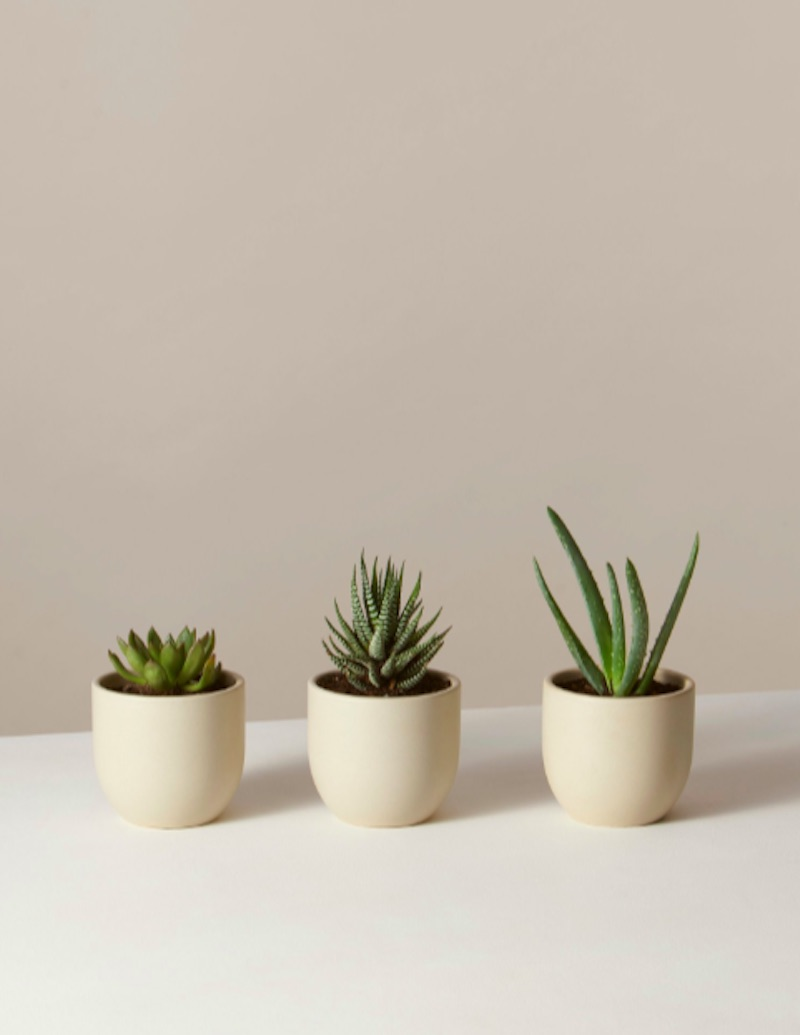 Trio of real succulents in white pots