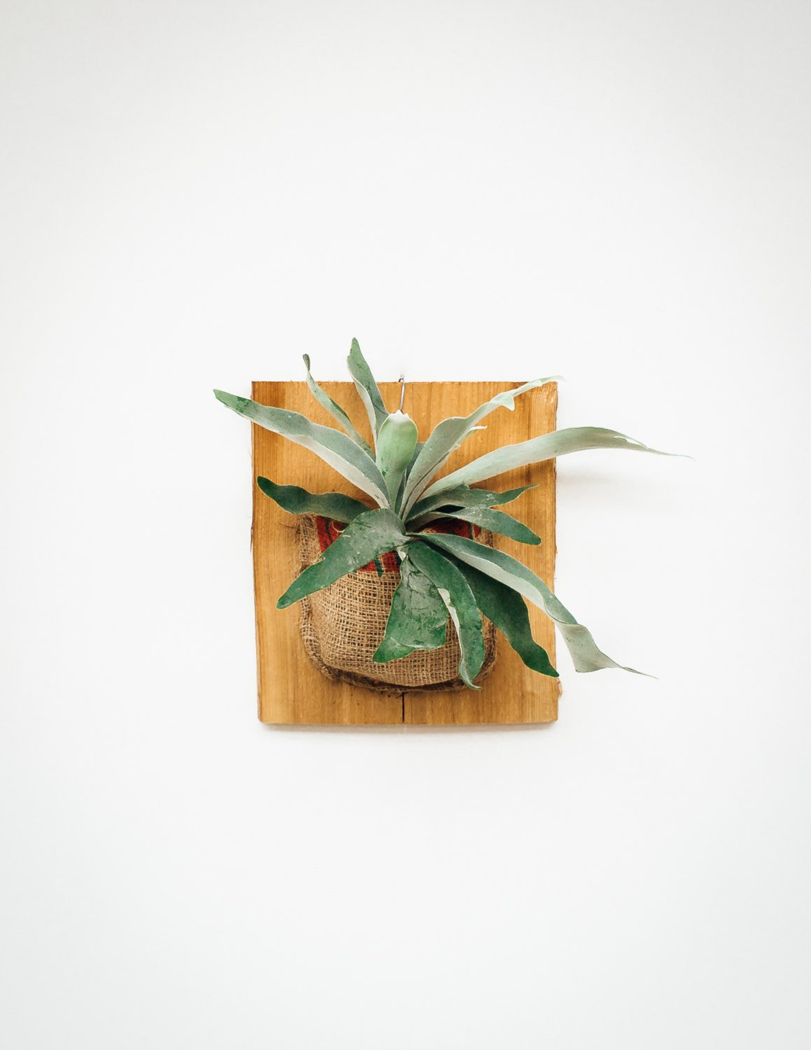 Real Staghorn Fern plant, mounted on wooden plaque