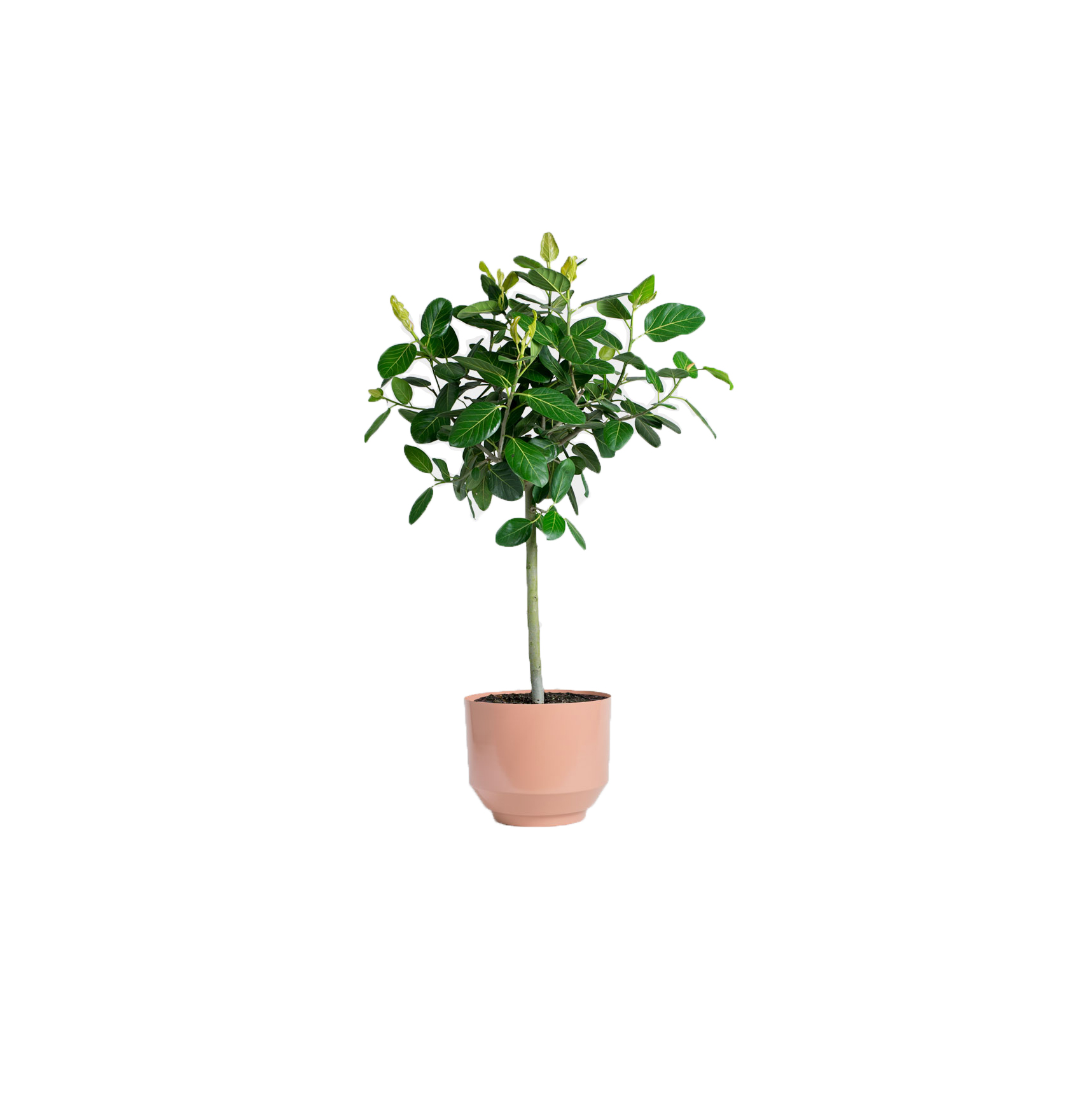 Ficus benghalensis, also called ficus audrey, in a planter