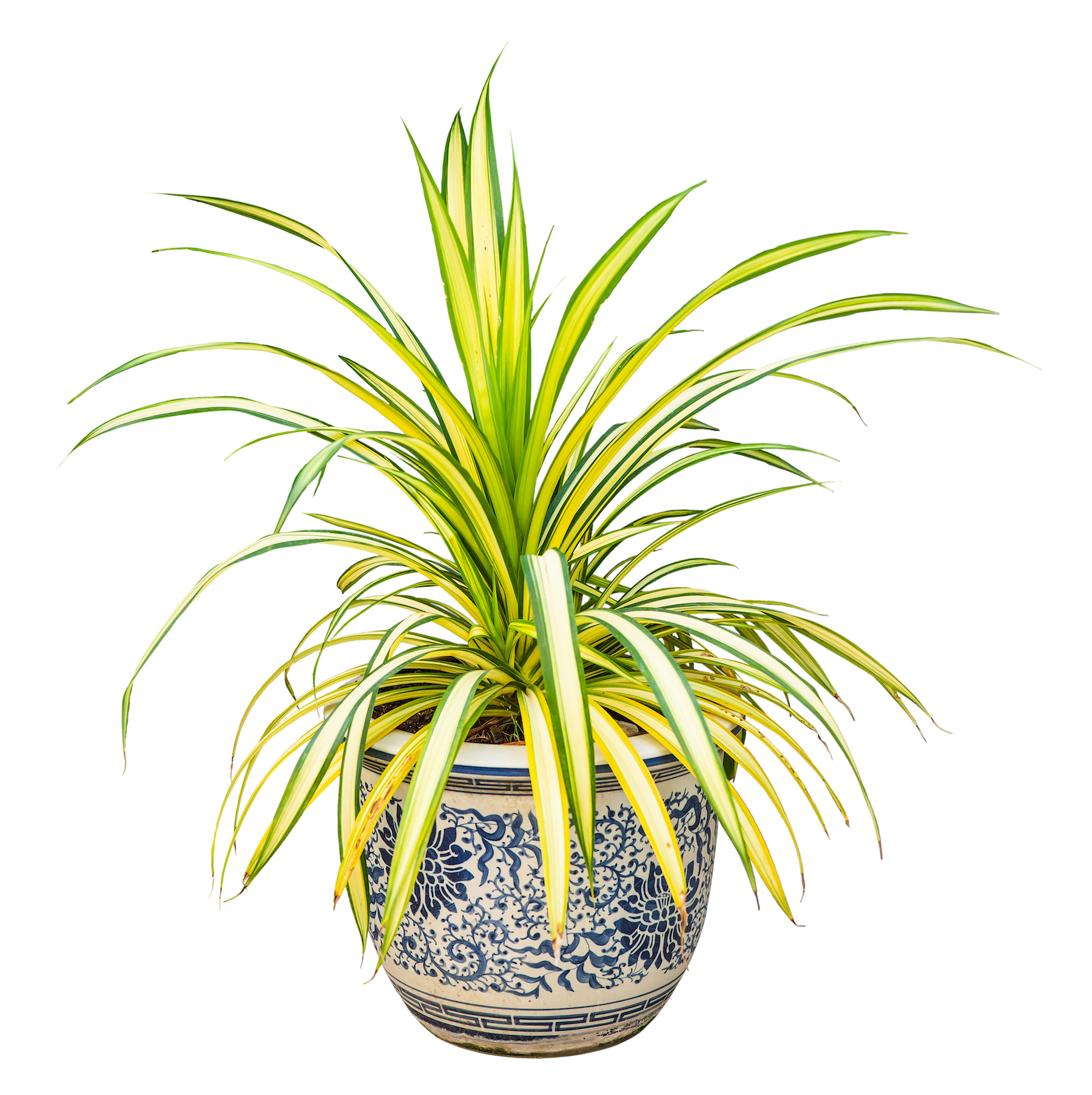 Plants That Don't Need Sunlight, spider plant in pot