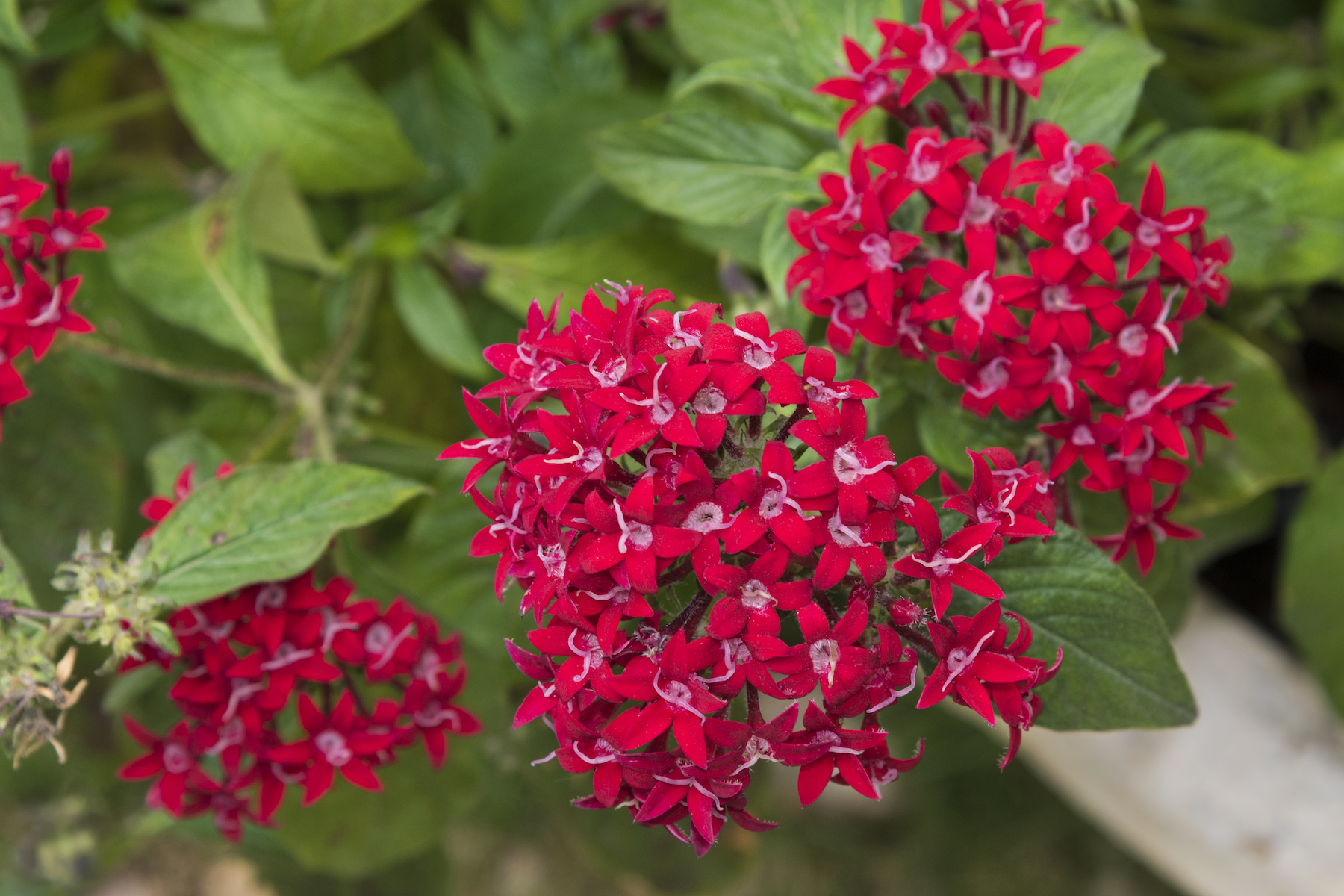 Red Pentas Flowers