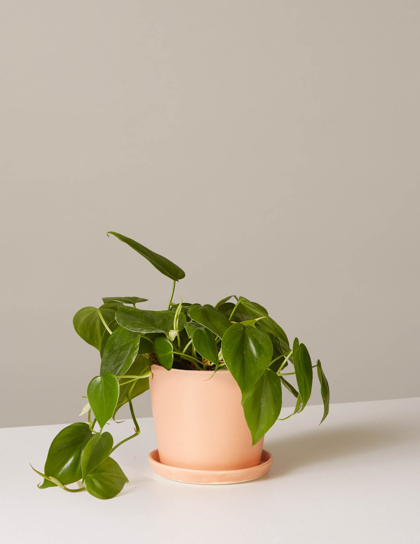 Philodendron plant in pot
