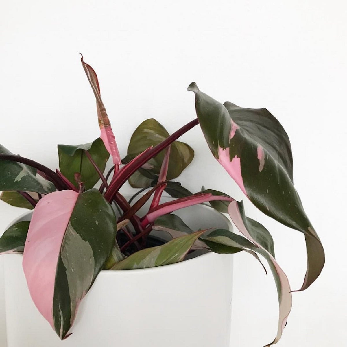 Pink Princess Philodendron in pot