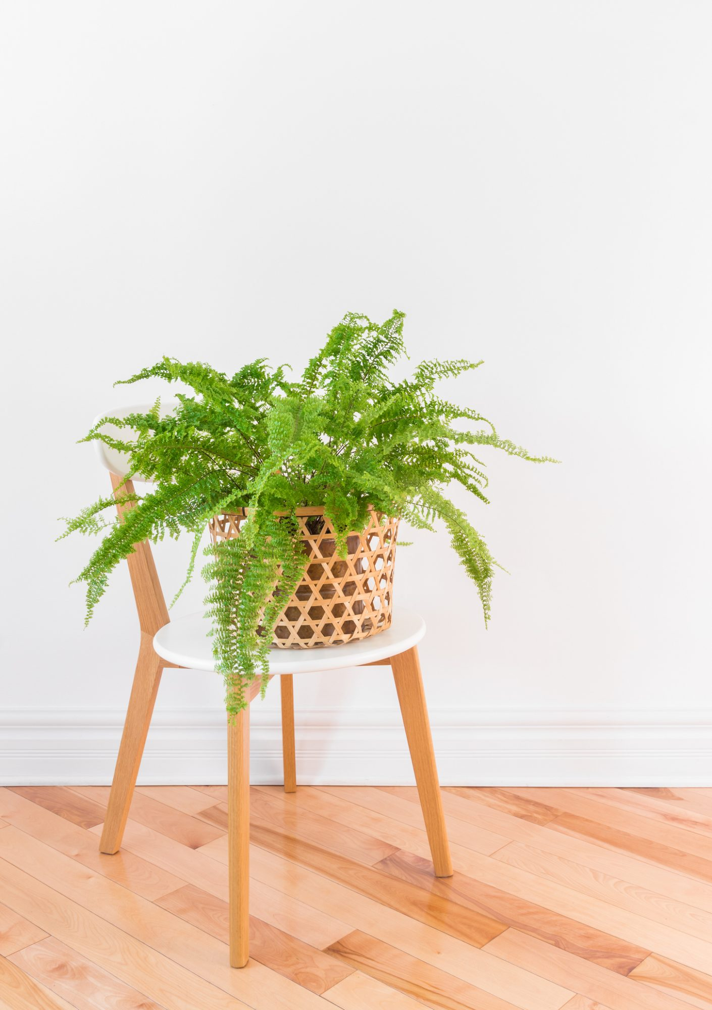 Plants That Clean the Air, Boston Fern