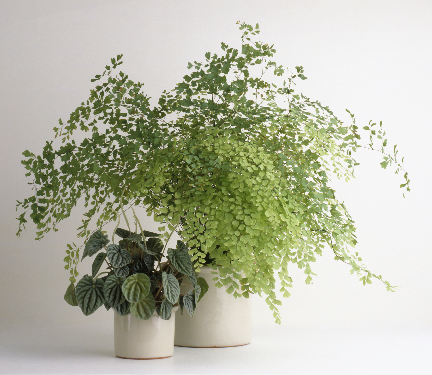 Plants That Don't Need Sunlight, Maidenhair Fern