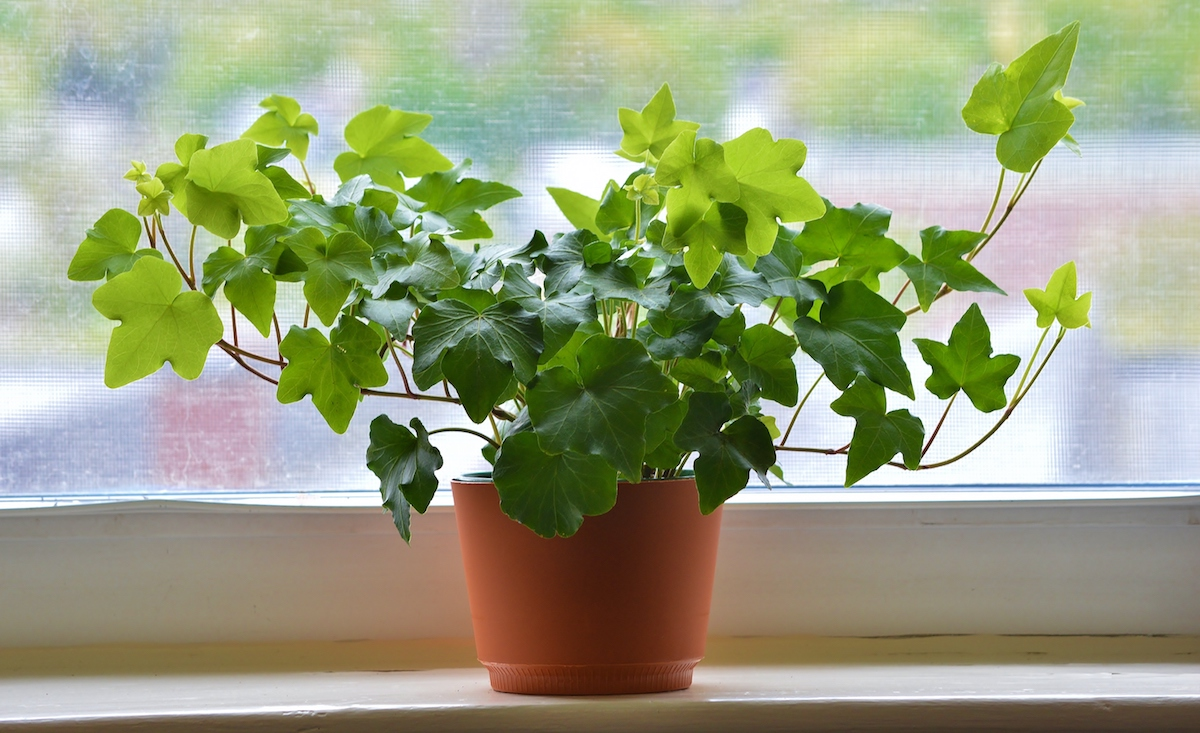 Plants You Should Never Touch, English Ivy on windowsill