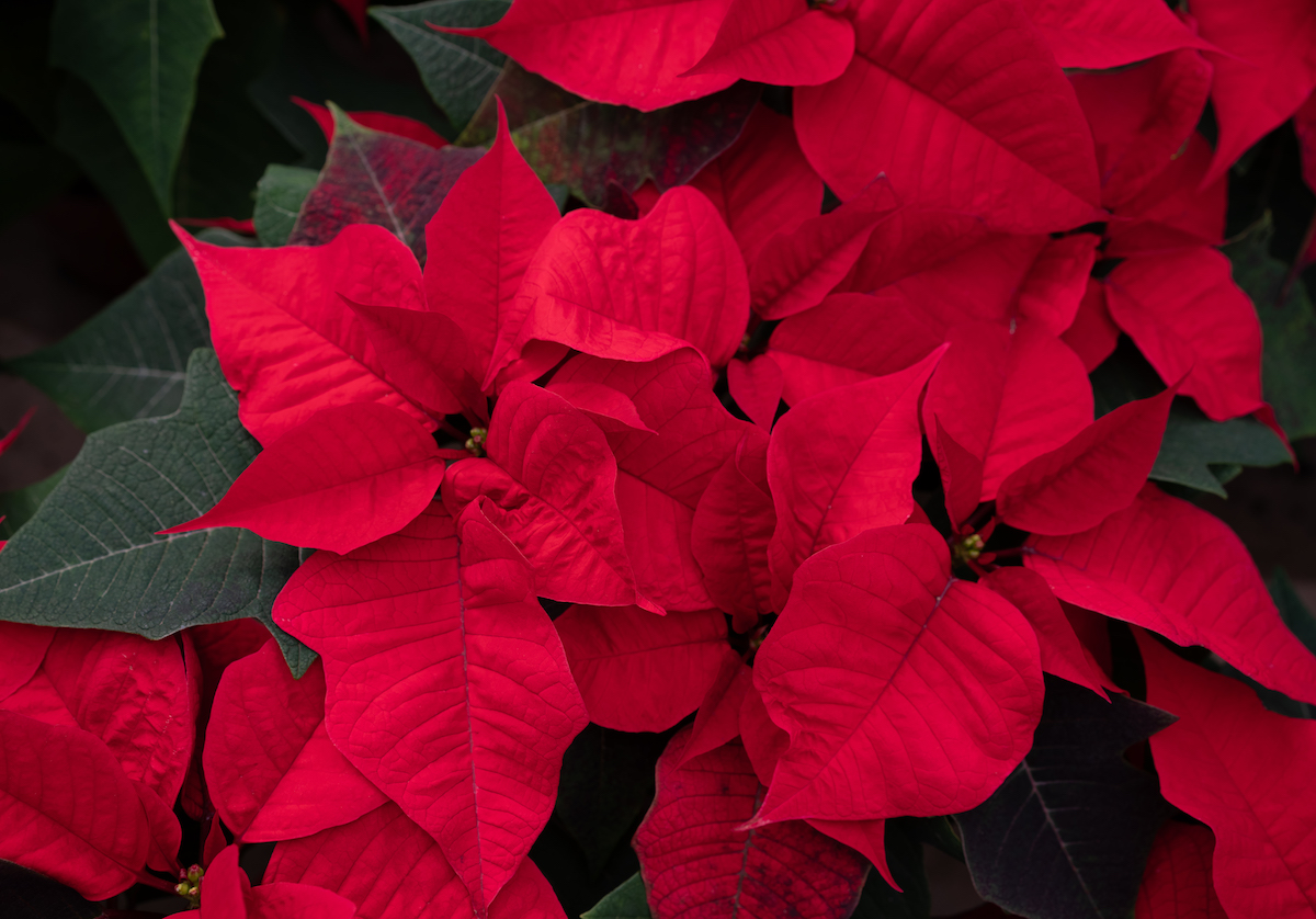 Plants You Should Never Touch, Poinsettia
