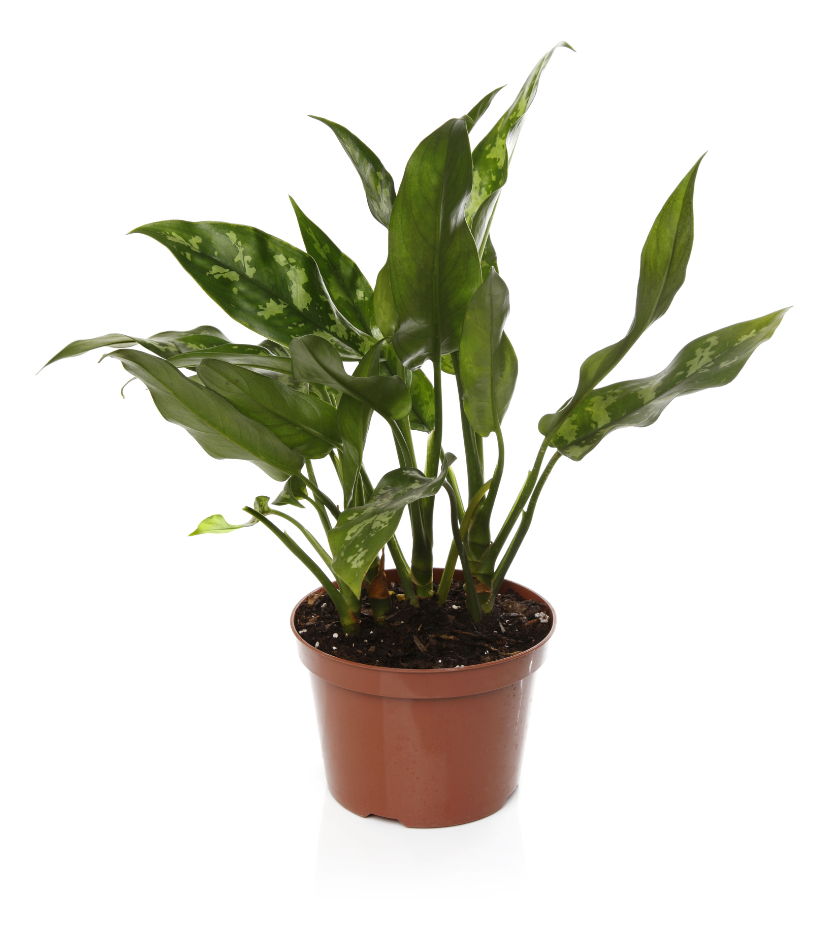 Plants That Clean the Air, Chinese Evergreen
