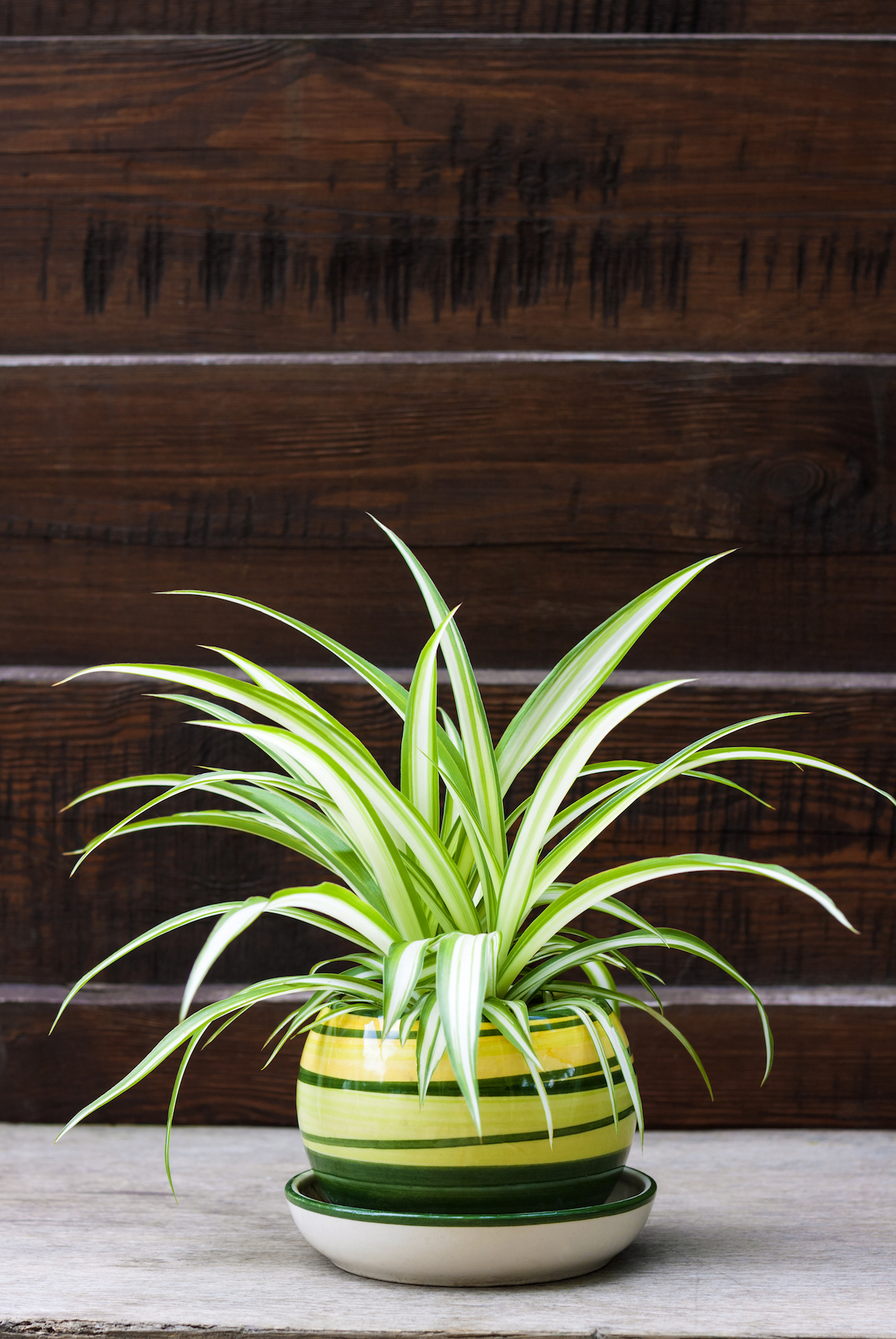 Plants That Clean the Air, Spider Plant