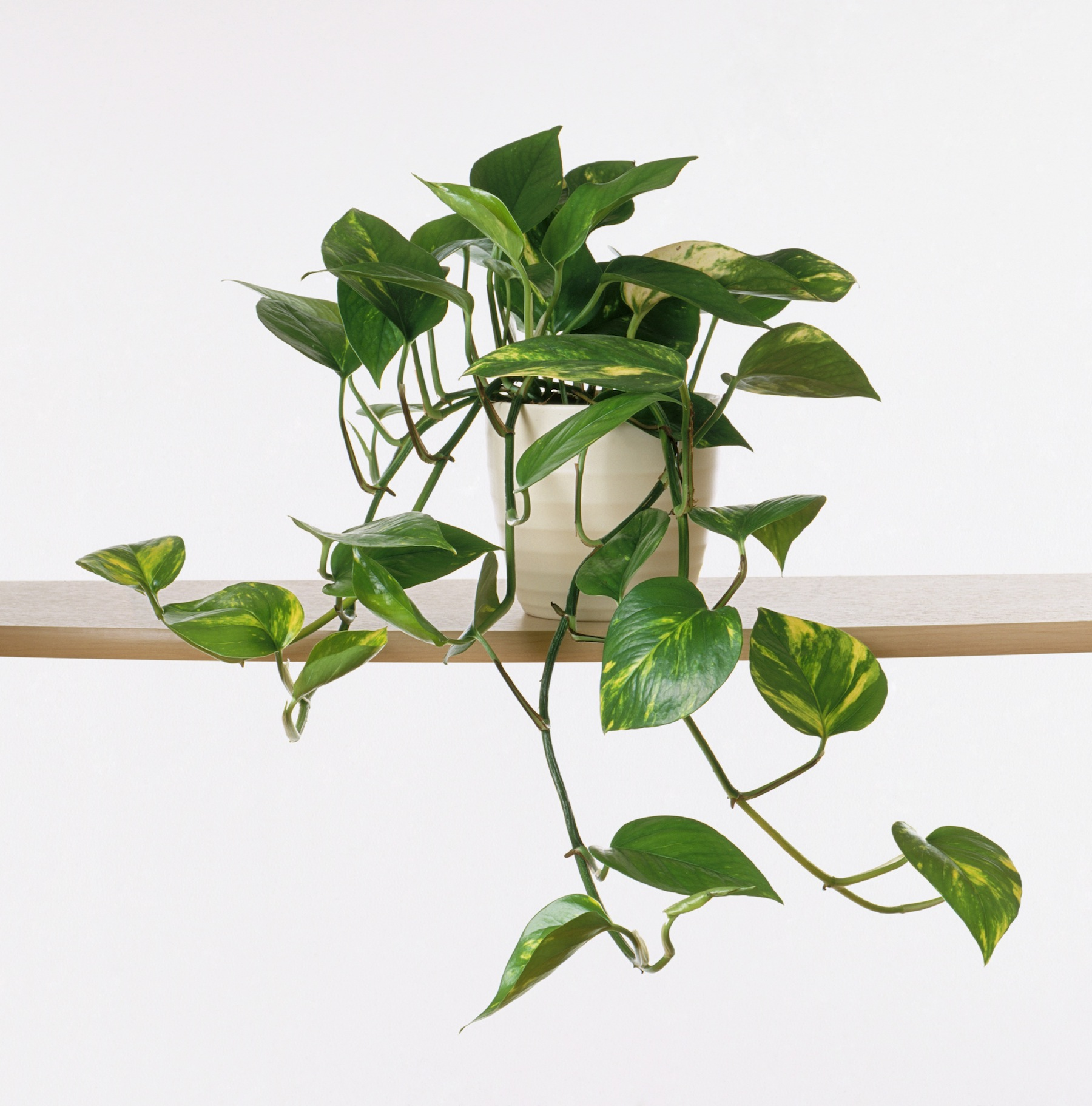 Plants That Don't Need Sunlight, Pothos