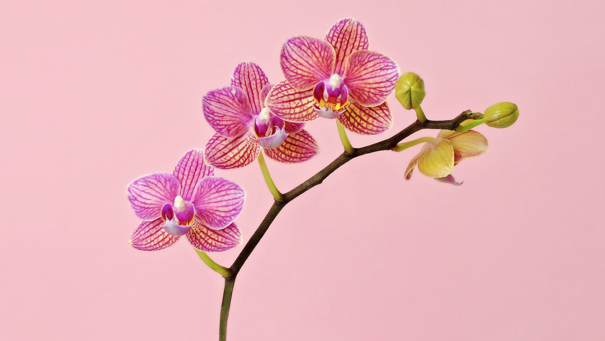 beautiful pink orchid plant