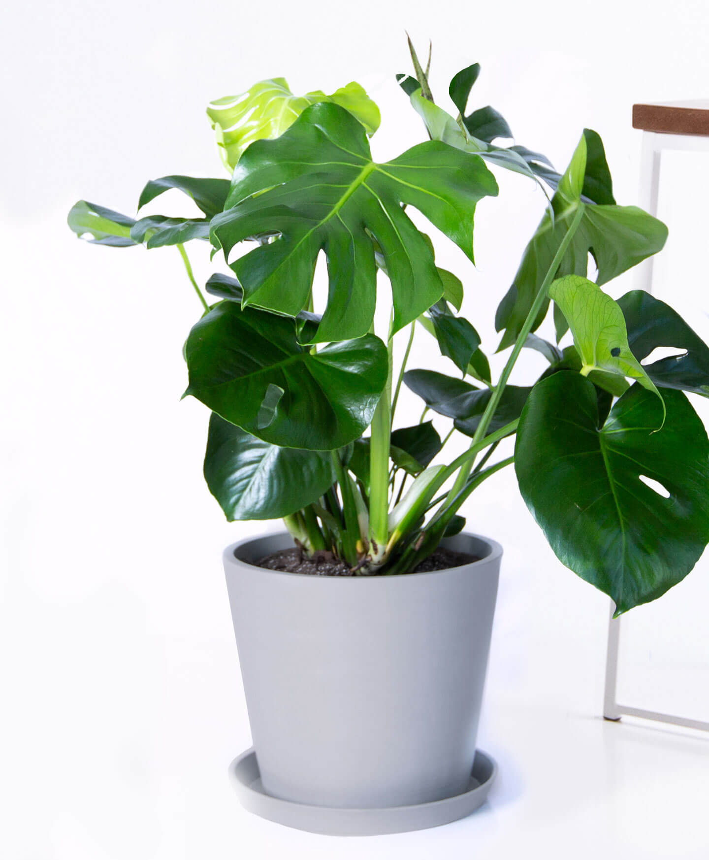 monstera house plant in pot