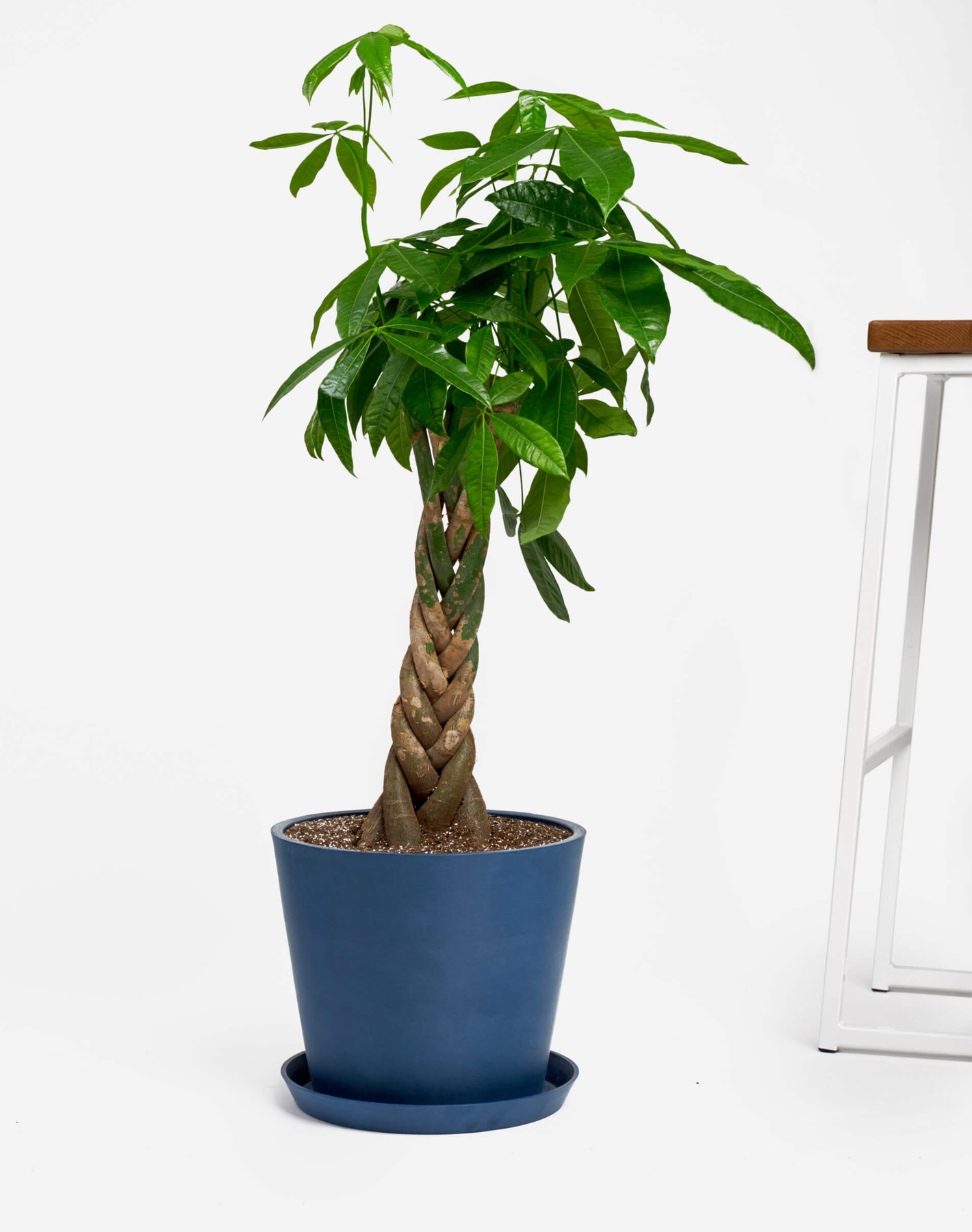 Best housewarming gifts - Bloomscape money tree