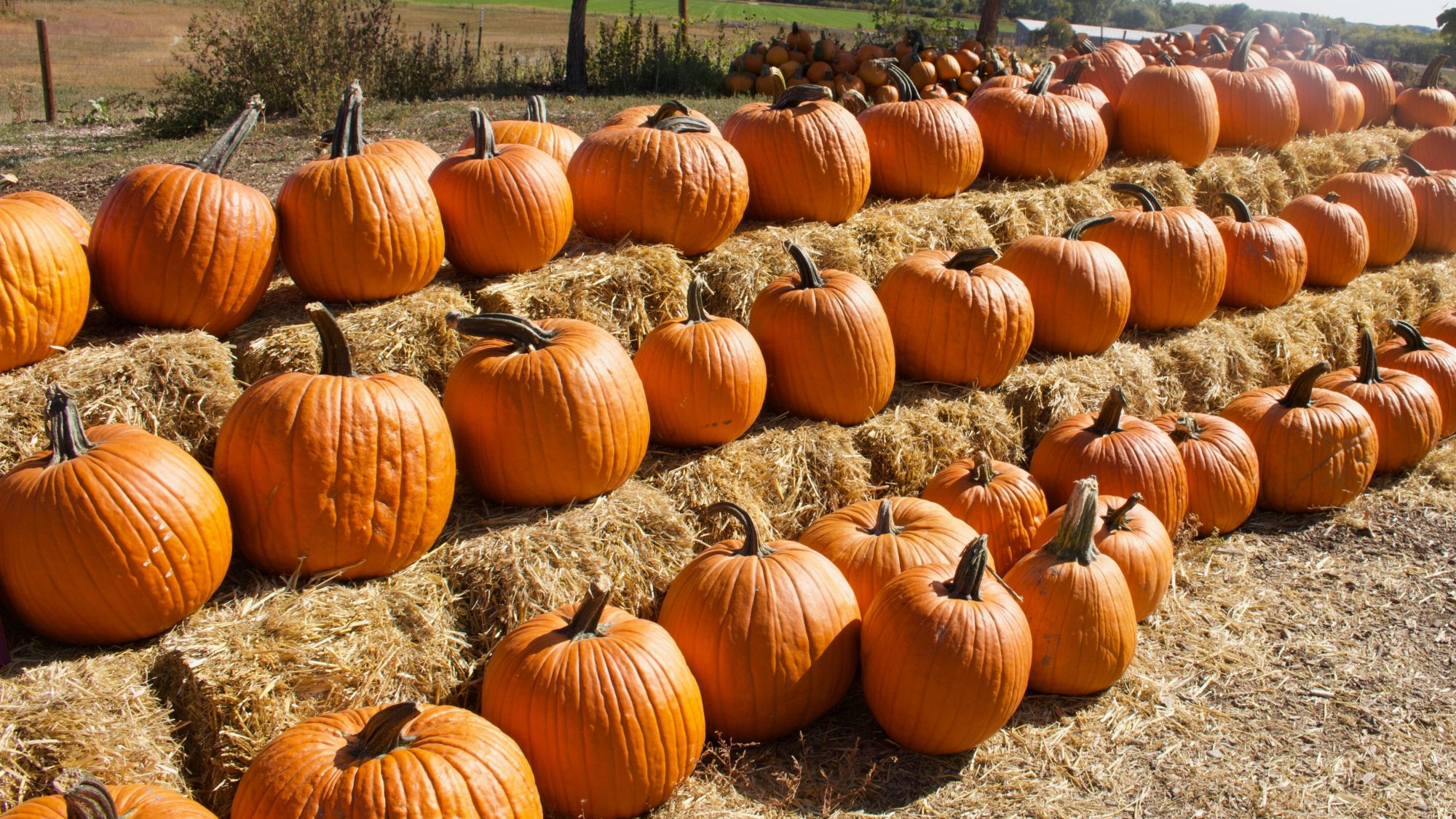 The Best Pumpkin Patch in Every State, According to Yelp: picture of line of pumpkins on hay bales