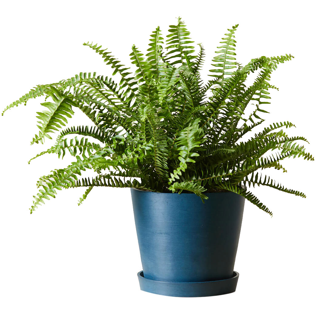 Best gifts for sisters - Bloomscape Kimberly Queen Fern