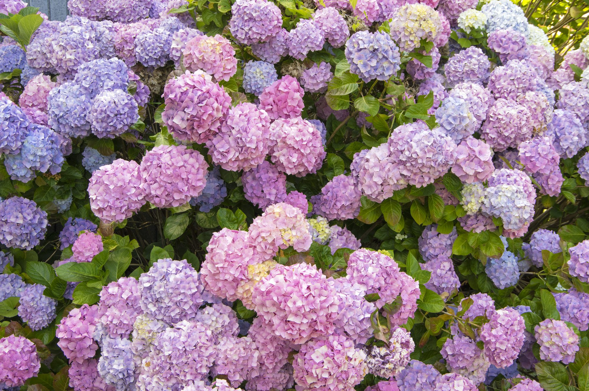 Fall Plants to Grow Right Now, Hydrangea
