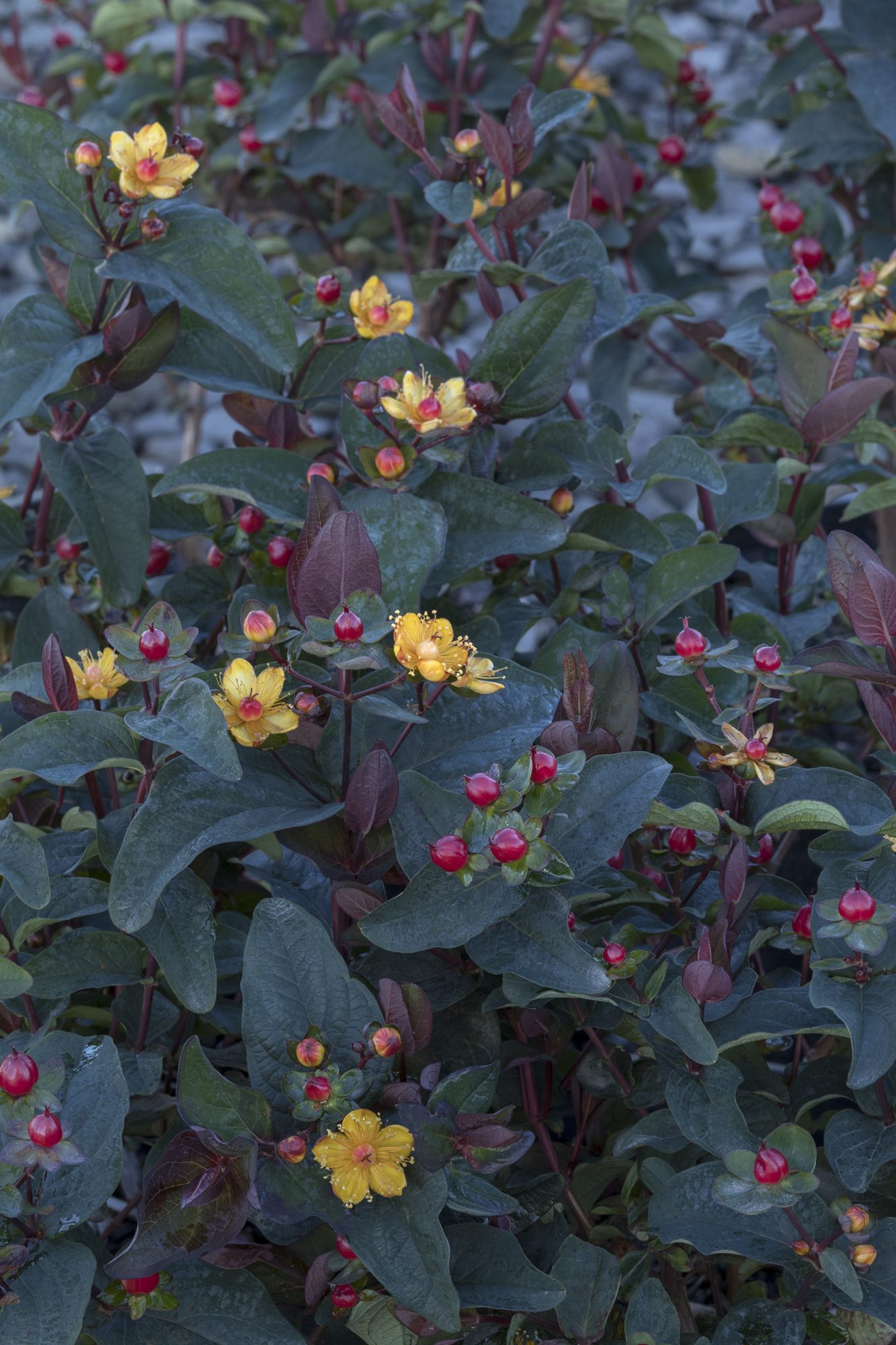 Fall Plants, FloralBerry Sangria Hypericum with tiny blooms