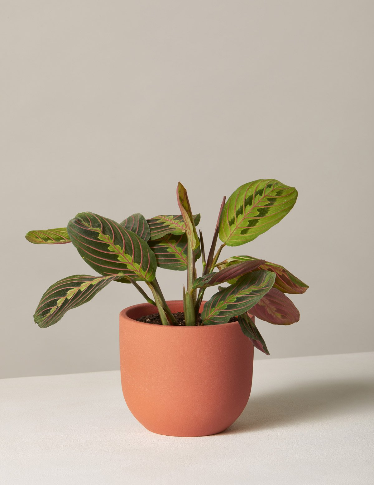 Maranta Houseplant in pot