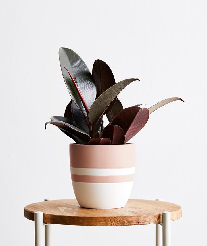 Small Rubber Tree Plant