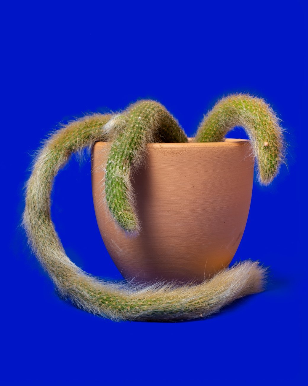 Popular Plants 2021, Monkey Tail Cactus