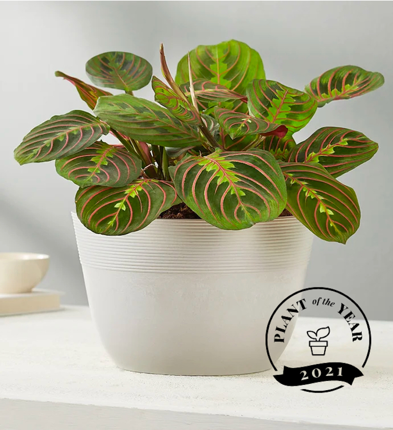 Most Popular Plants 2021, Red Maranta Prayer Plant