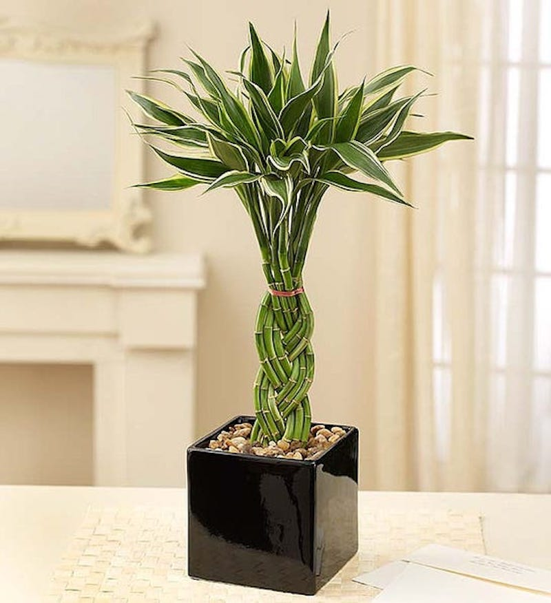 Shower Plants, Braided Bamboo