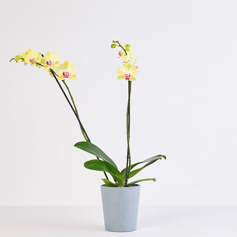 Shower Plants, Yellow Orchid