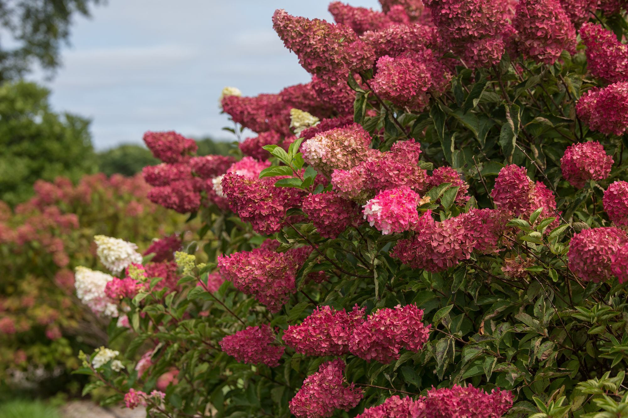 Berry White Hydrangea with pink-red blooms