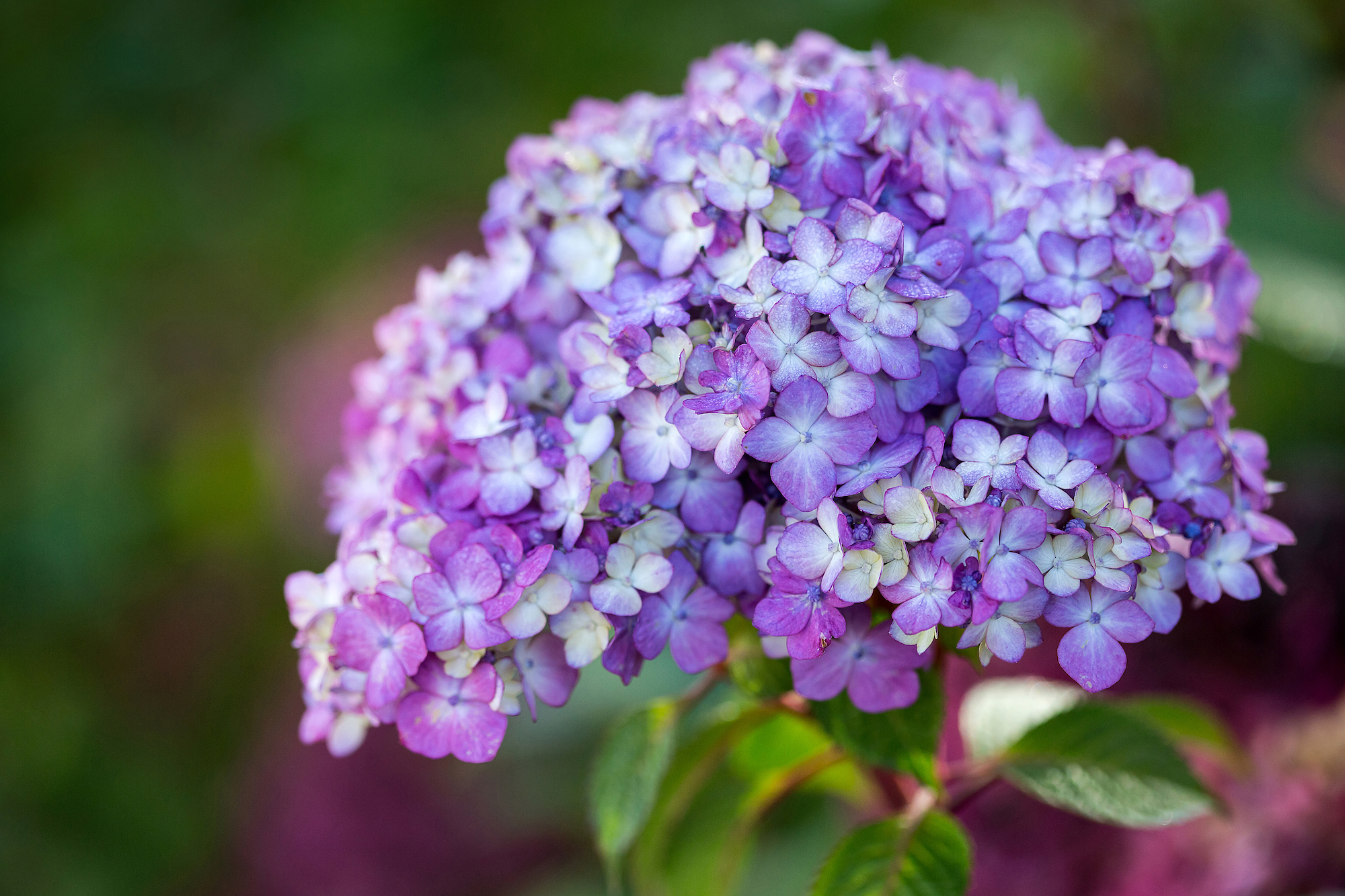 Endless Summer BloomStruck Hydrangea with purple bloom