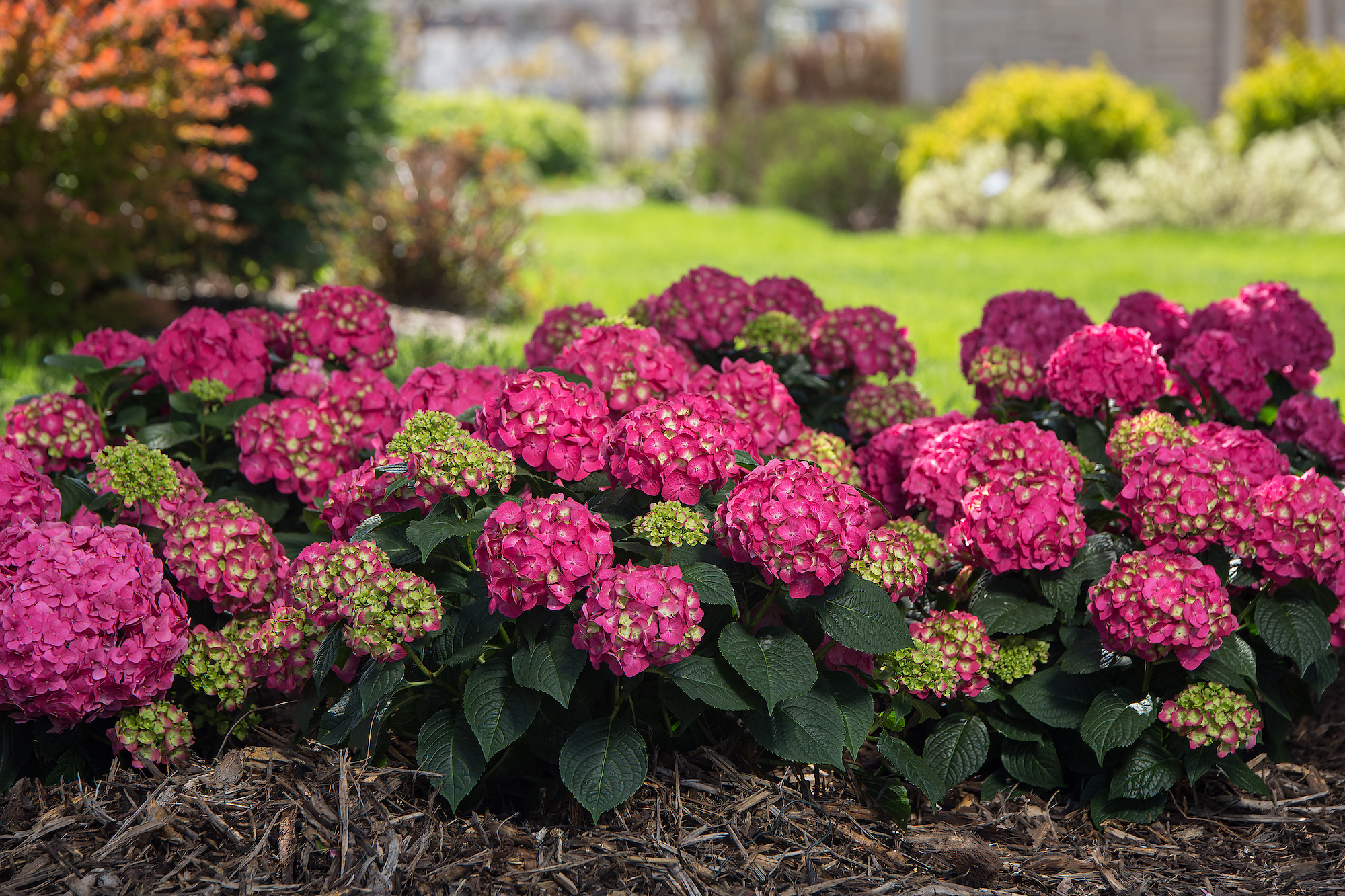 Endless Summer Summer Crush Hydrangea with pink blooms