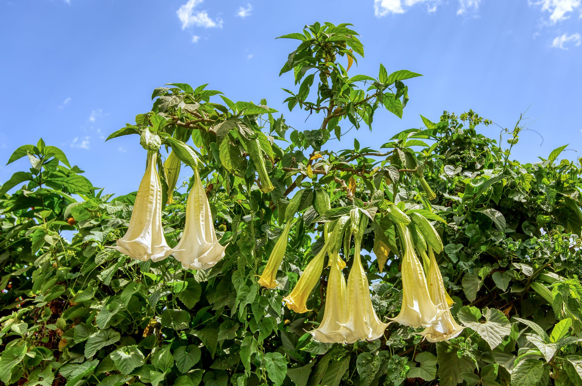 Angel Trumpet Is the Mesmerizing—but Toxic—Flower You Should Know About