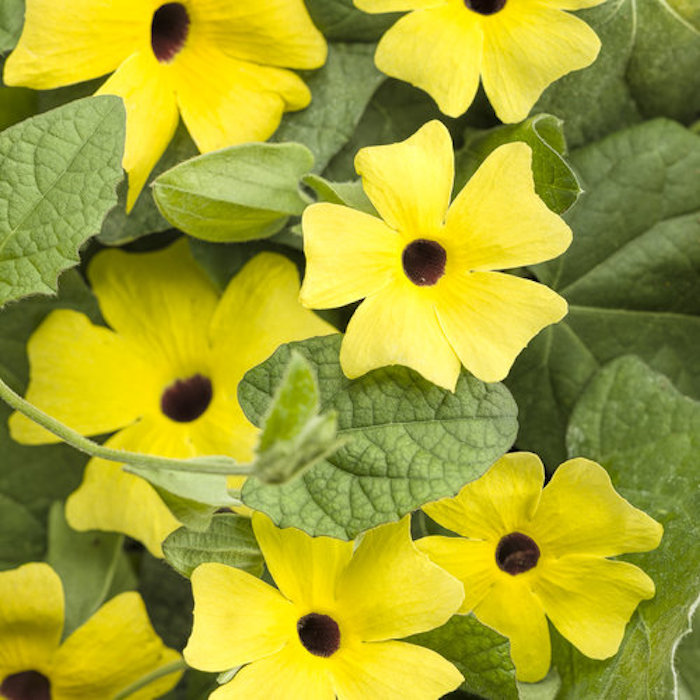 Black-Eyed Susan Vine with Yellow Flowers