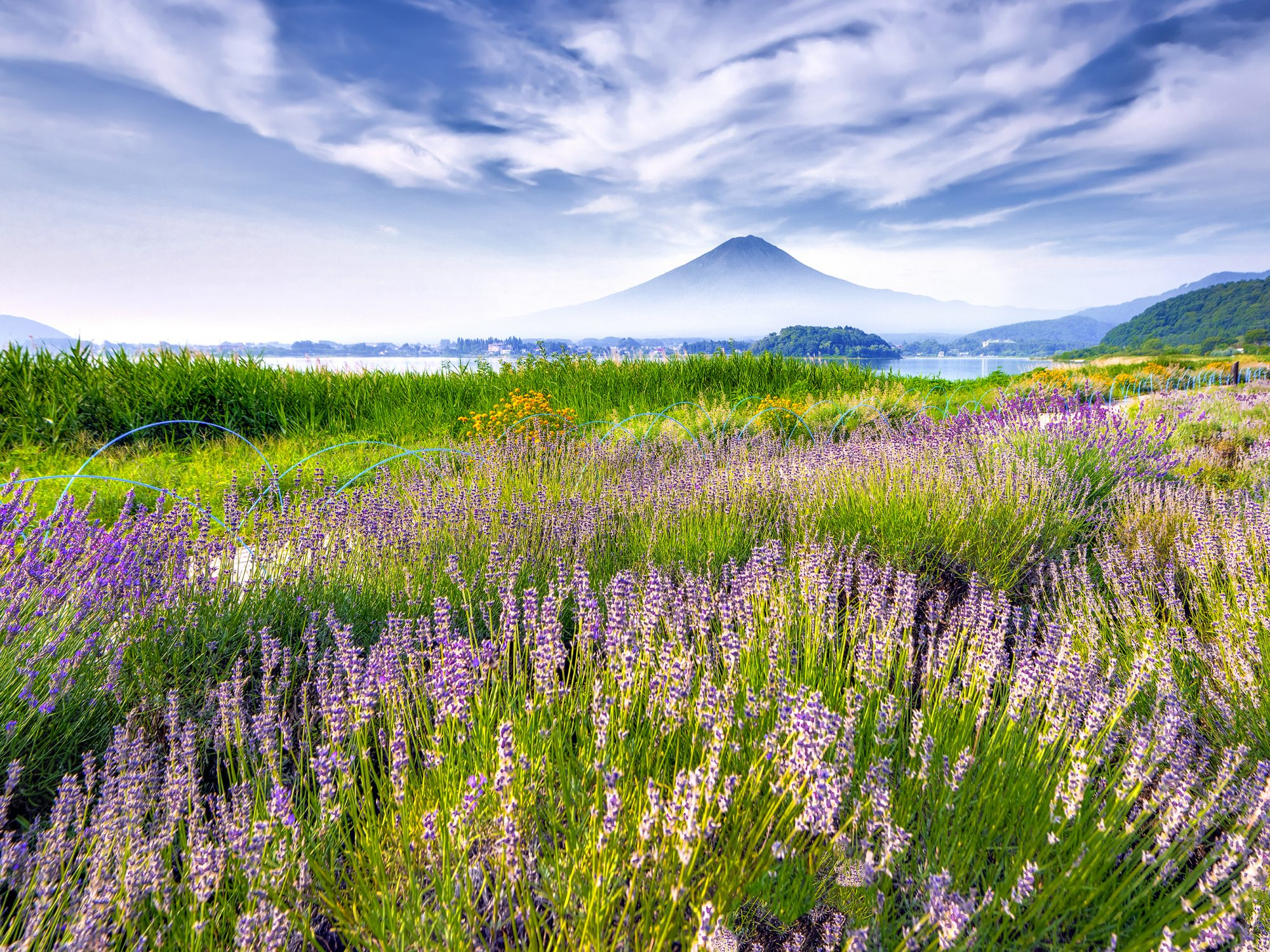 Lavender-Therapeutic-Benefits: field of lavender