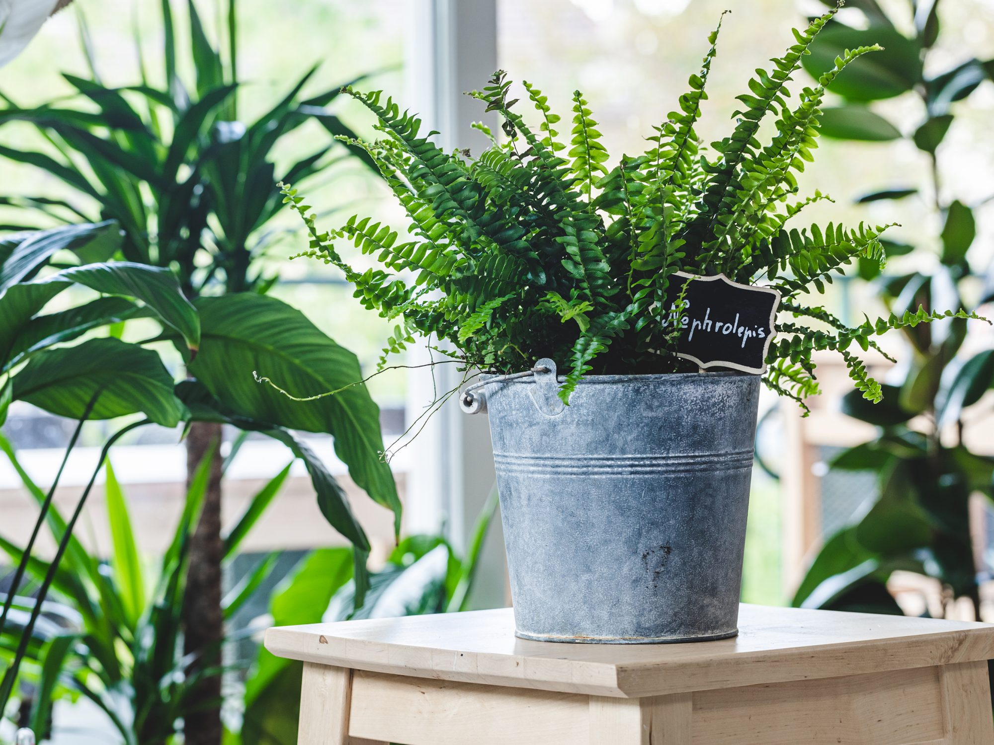 Potted Nephrolepis exaltata (Boston fern, Green Lady) on wooden table