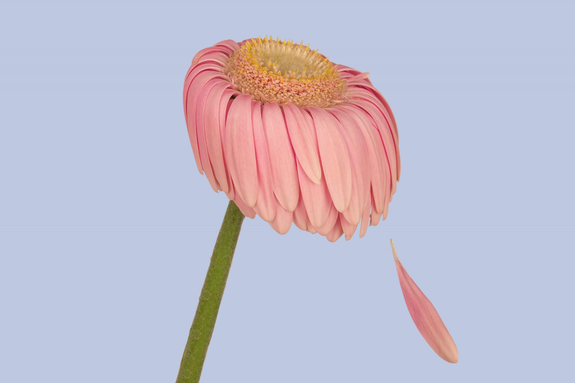 What Is Anticipatory Grief? Pink flower losing its petals on a purple background