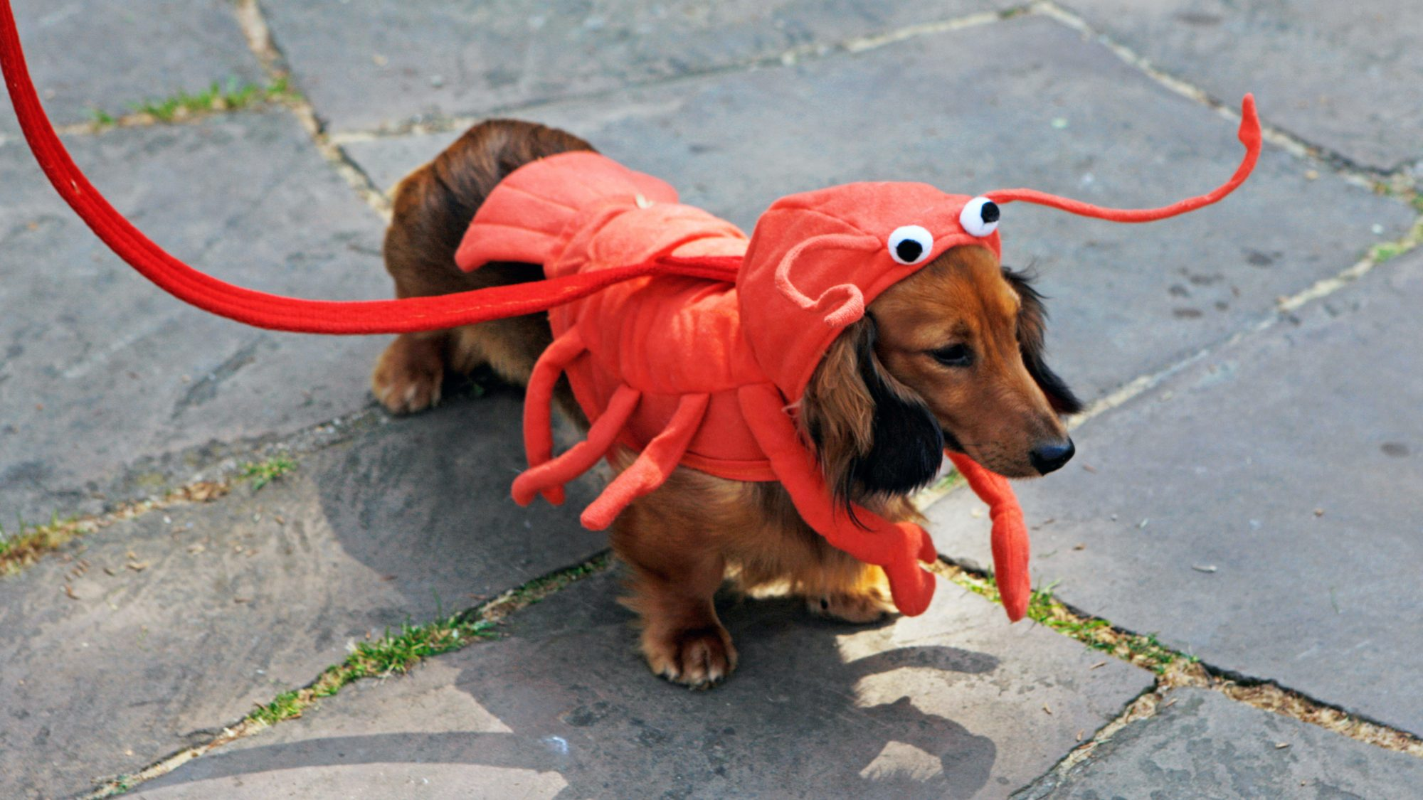 dog dressed as a lobster: top Halloween costumes 2021