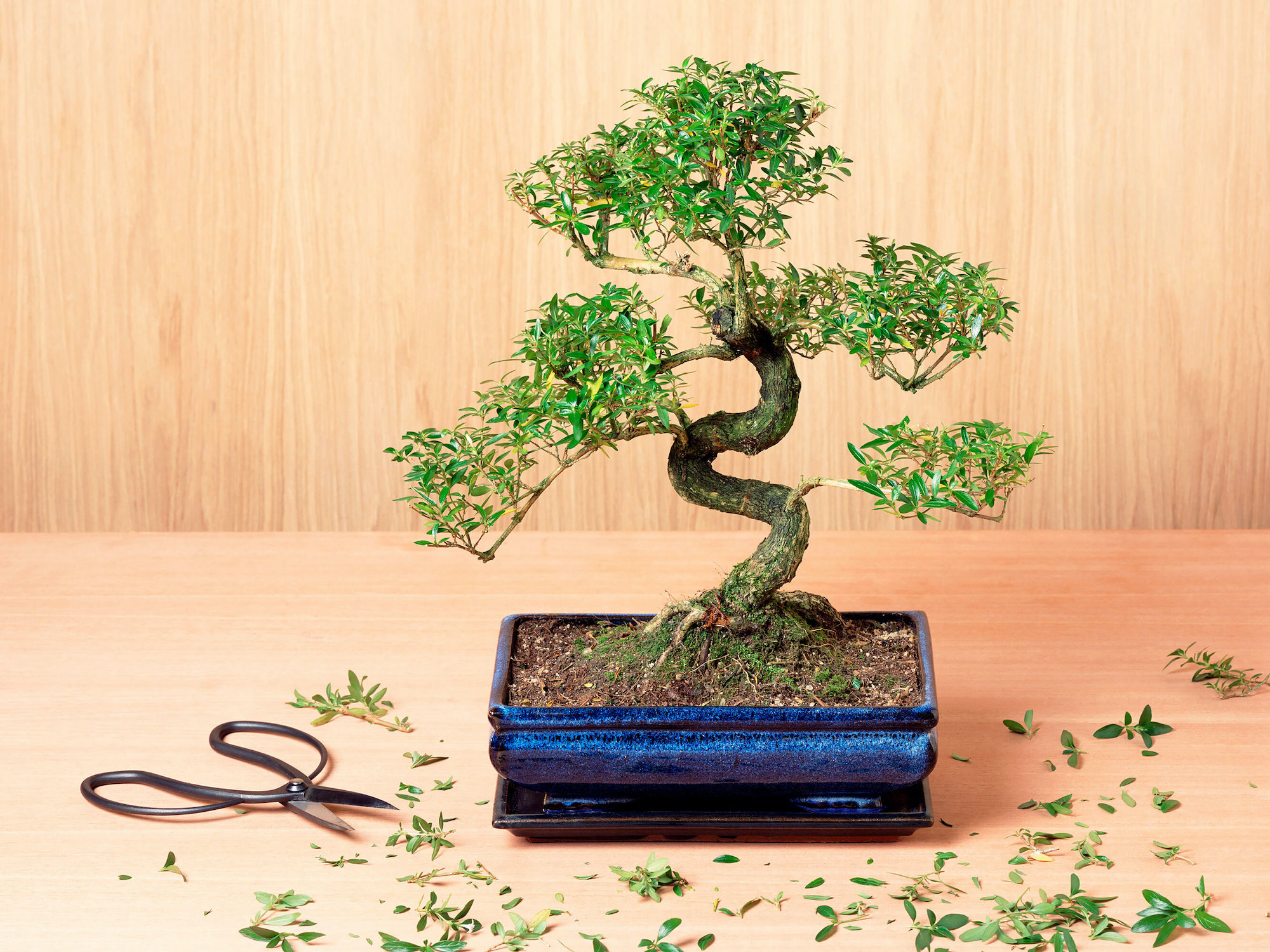 Indoor bonsai tree in shallow blue planter