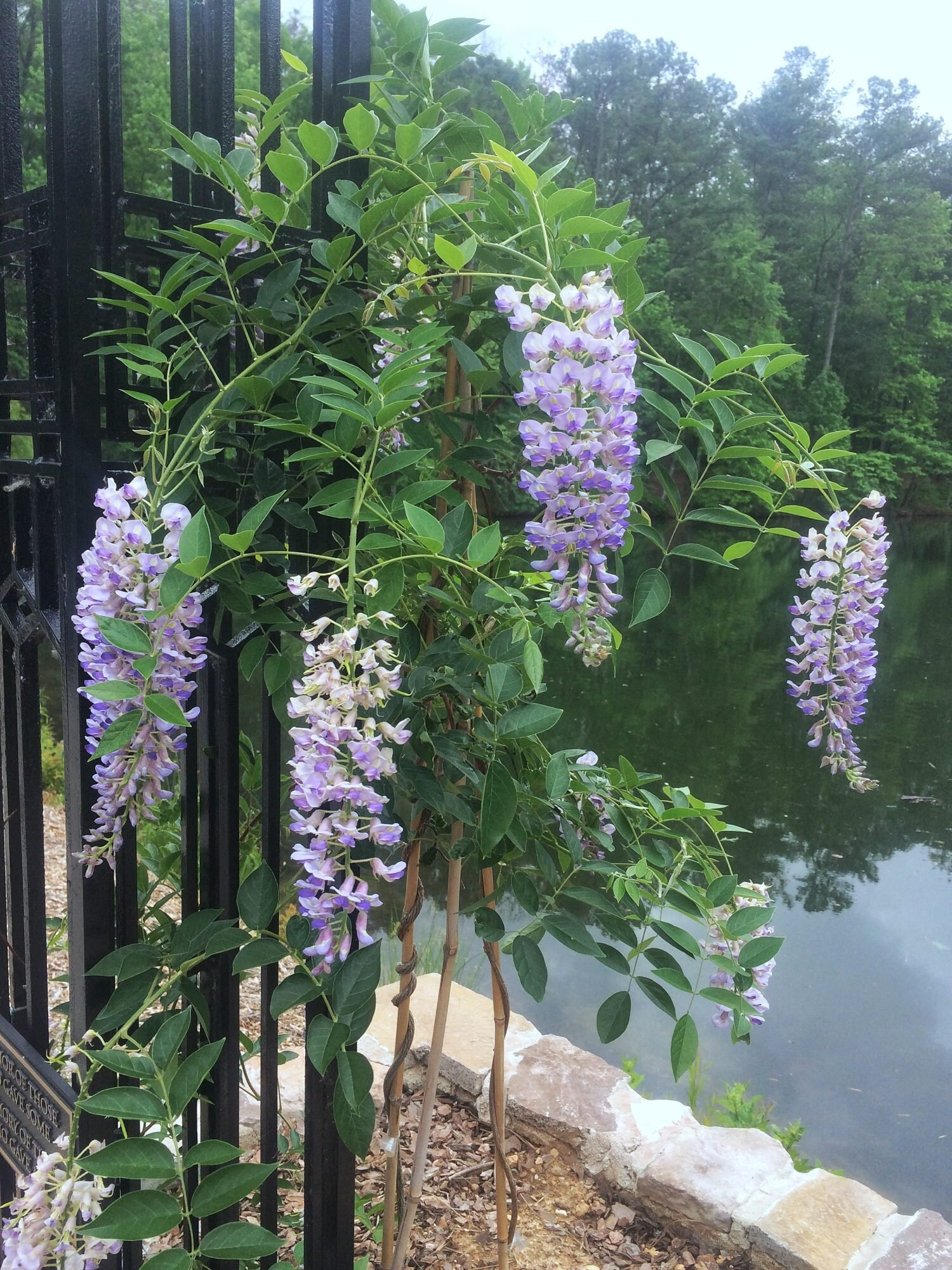 Try A Tamer Wisteria Southern Living