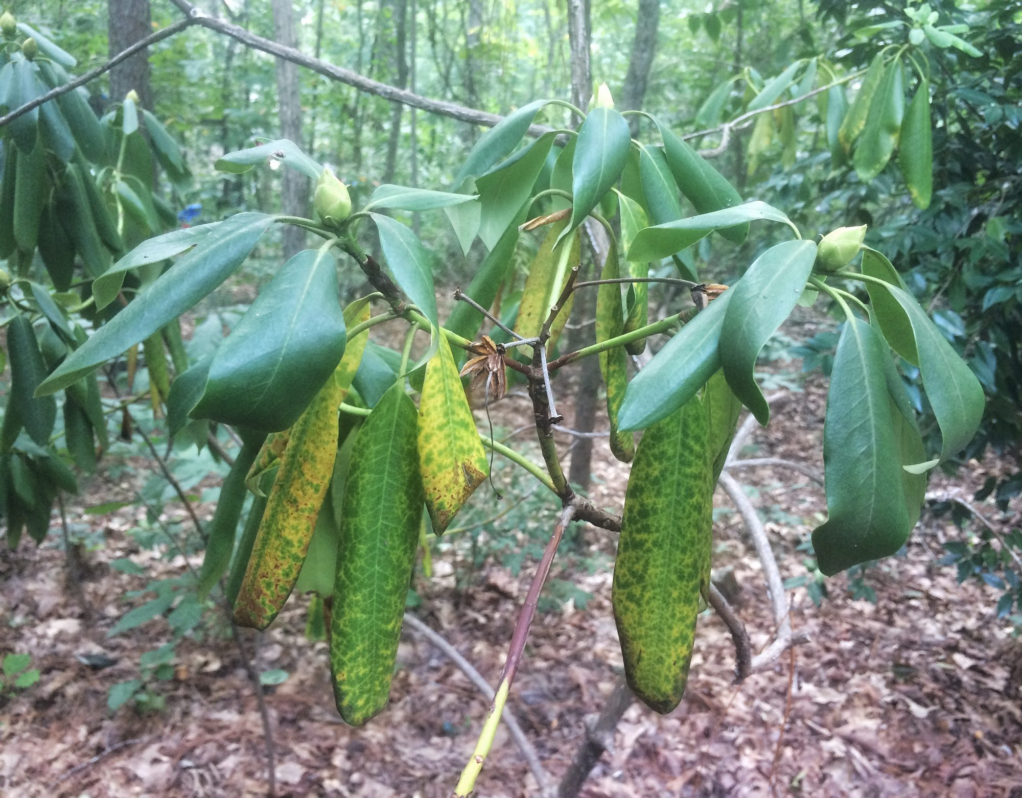 Dying Carolina rhododendron