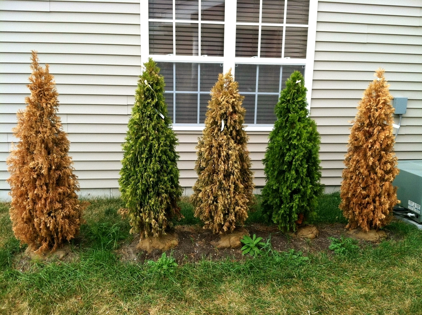 Dying arborvitaes