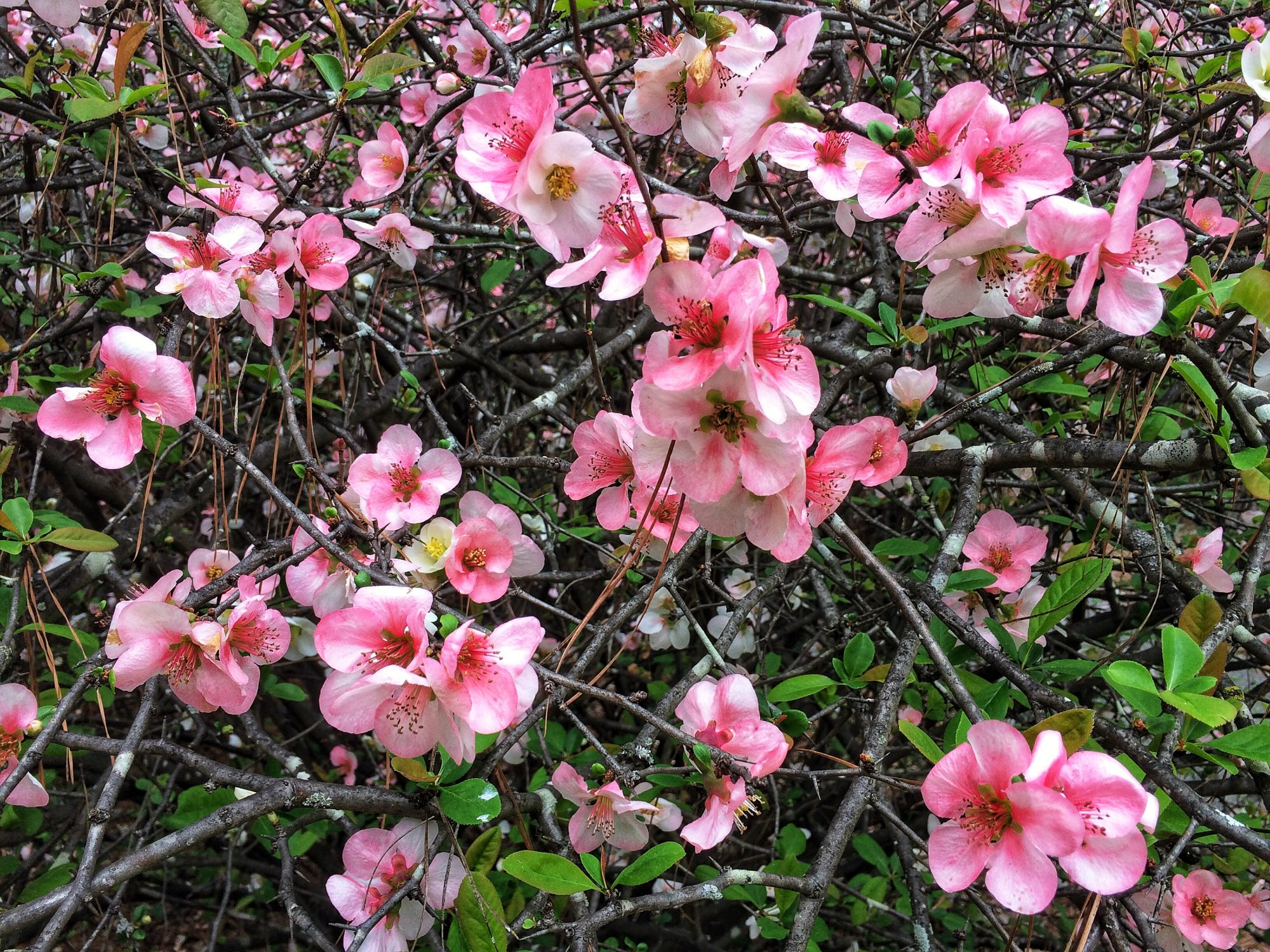 Flowering Quince Blooms