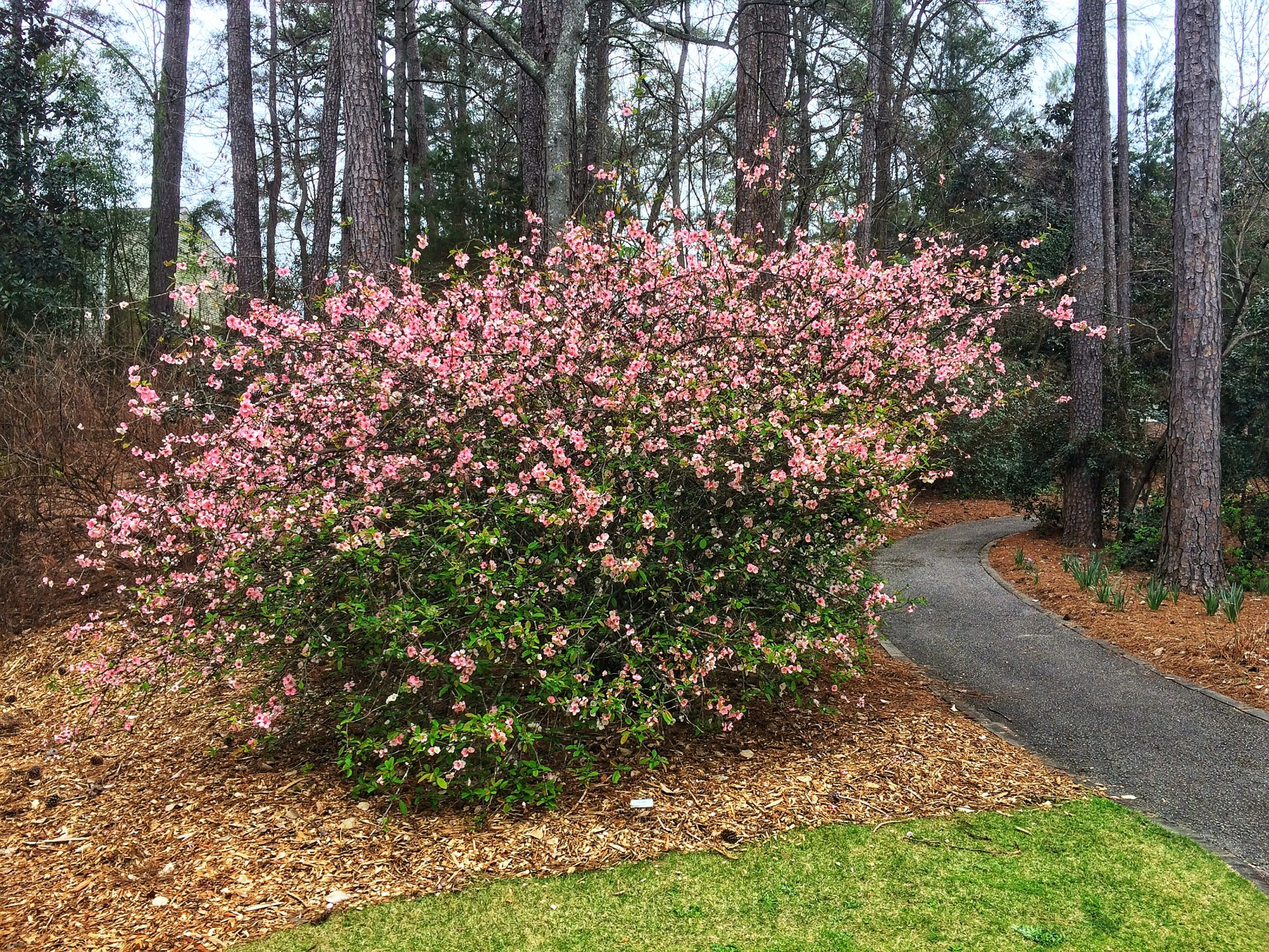 Flowering Quince Shrub