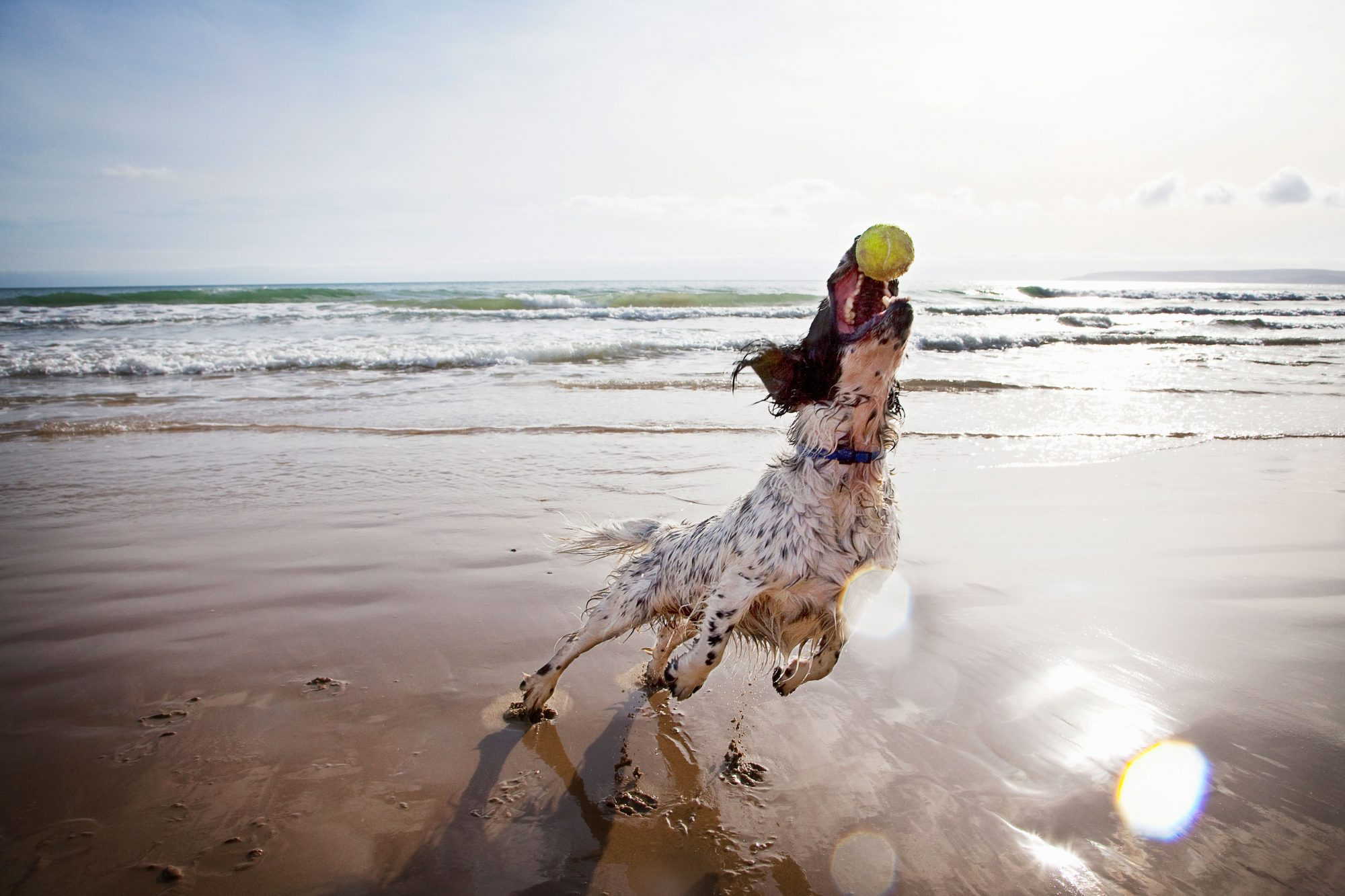 Spaniel Catching Ball on Beach