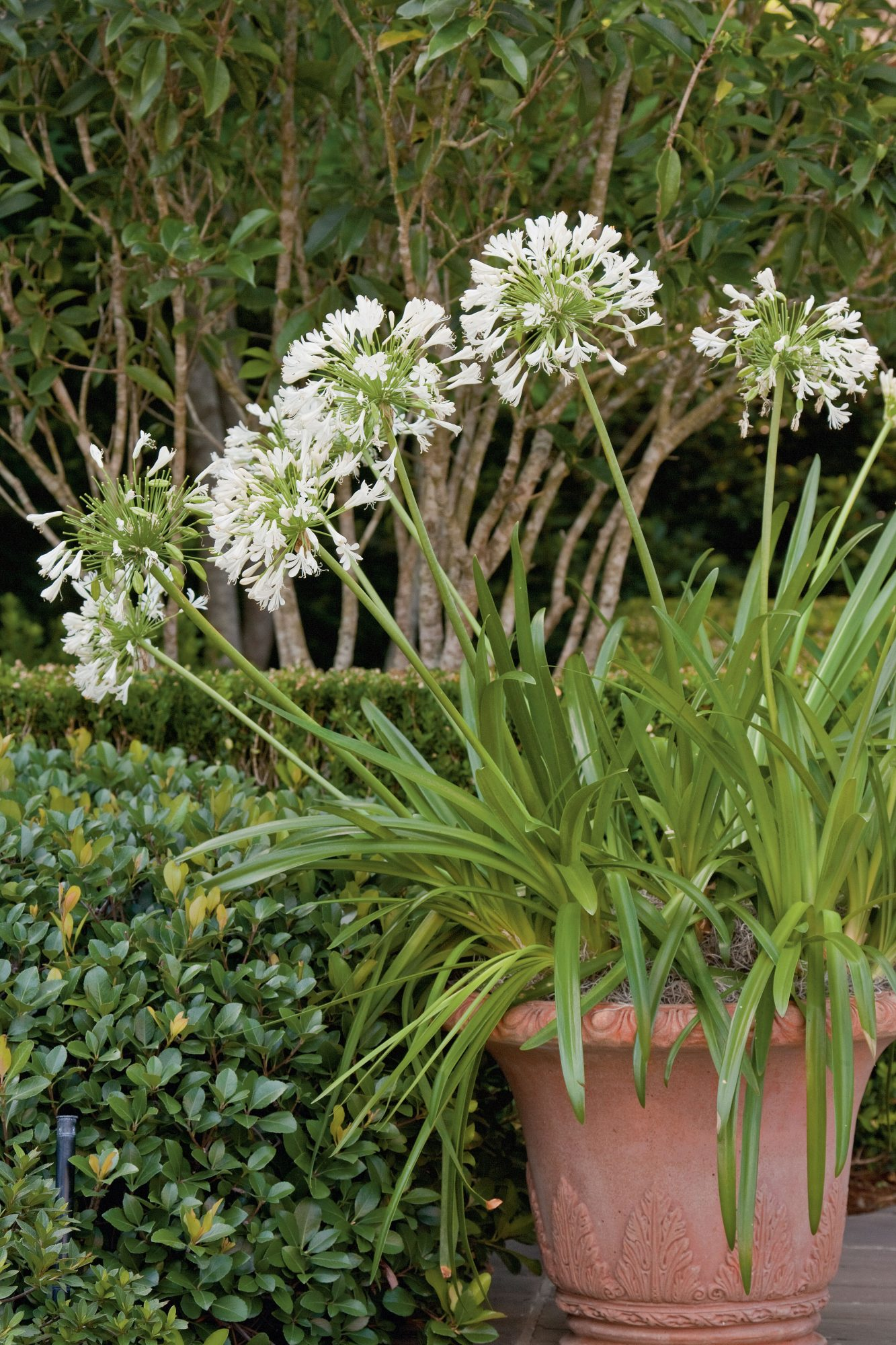 Lily-of-the-Nile