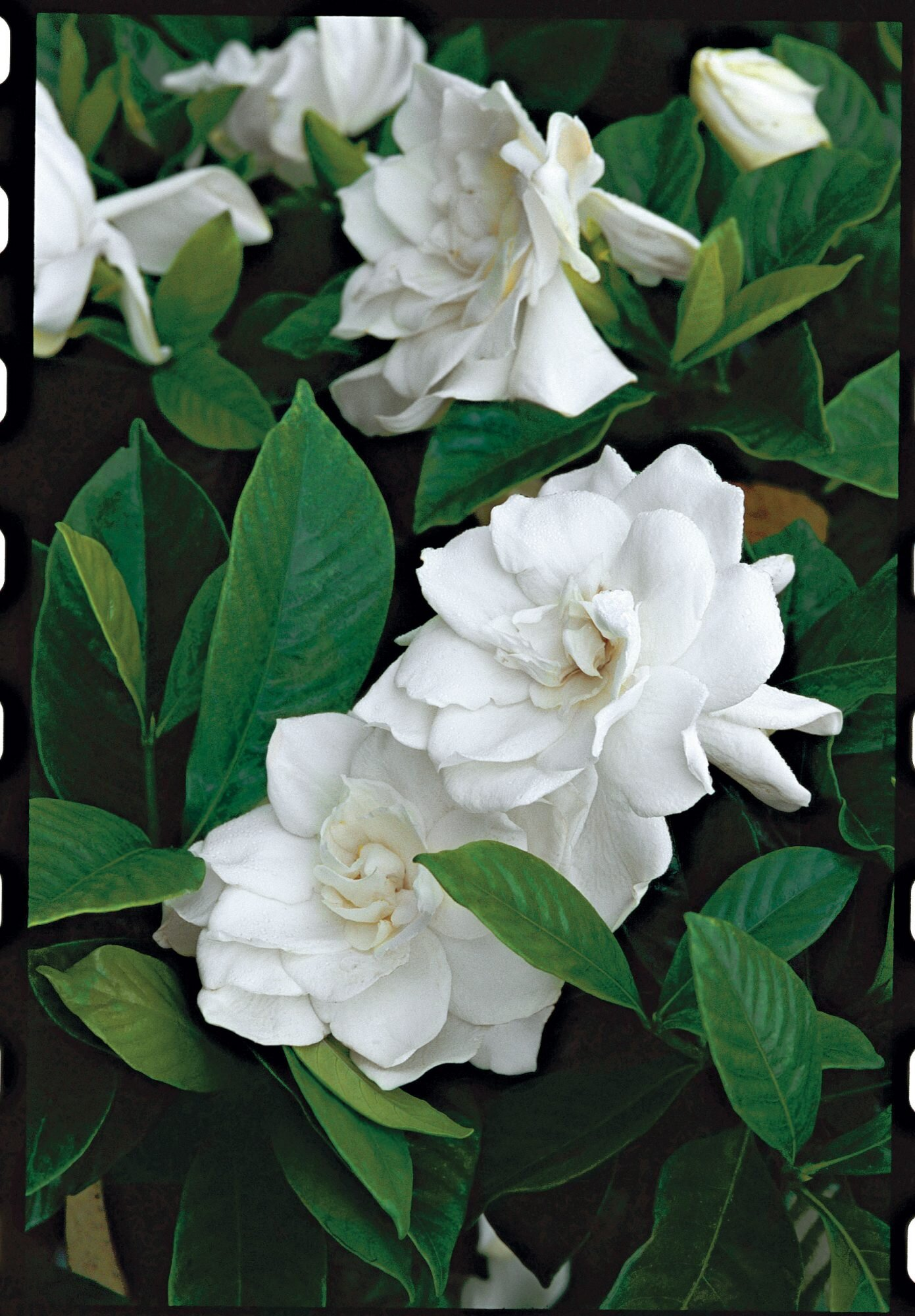 Gardenias A Fragrance That Captivates Southern Living